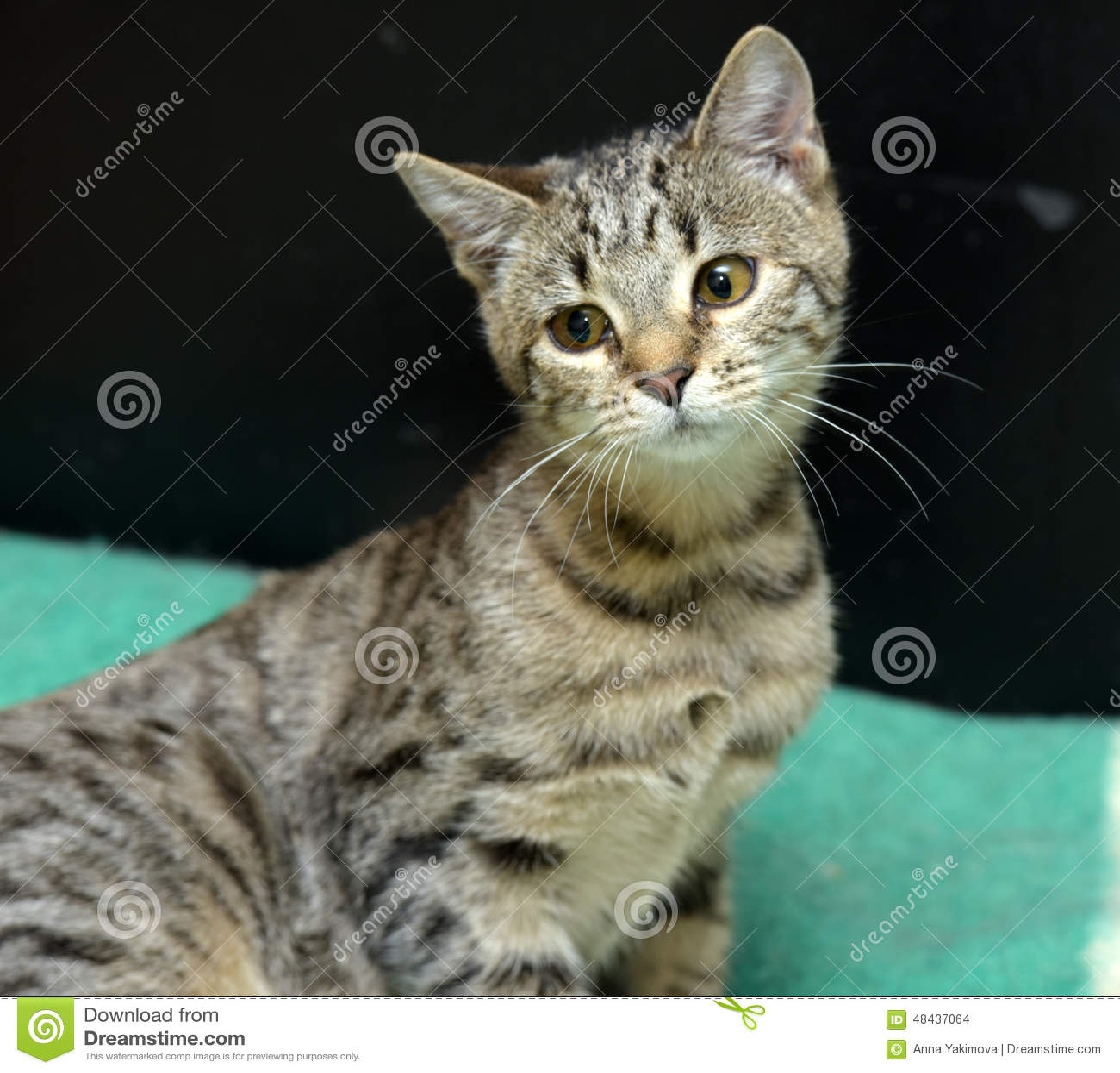 Gato de gato atigrado joven