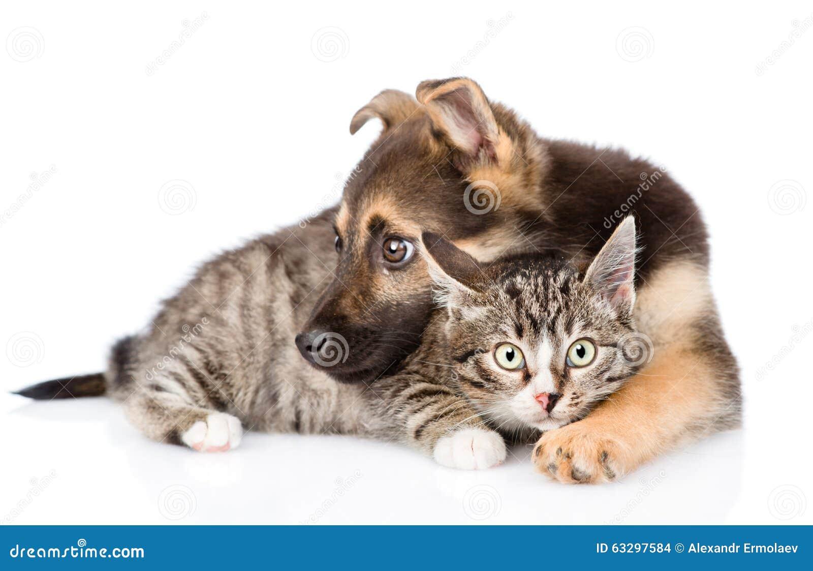 Gato de gato atigrado mezclado del abarcamiento del perro de la raza Aislado en el fondo blanco