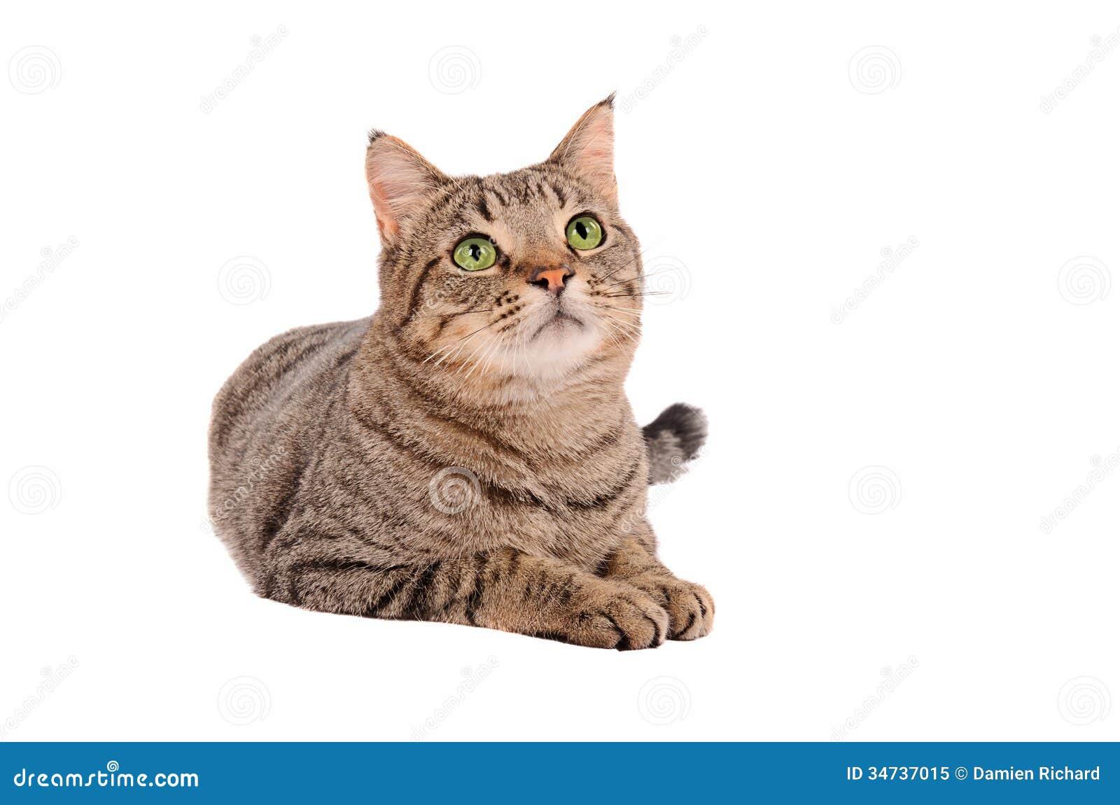 Gato de gato atigrado observado verde claro en el fondo for Red transparente para gatos