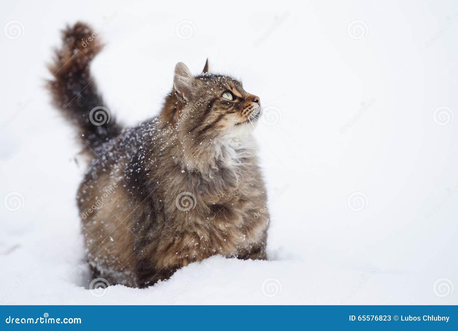 Gato de gato malhado na neve