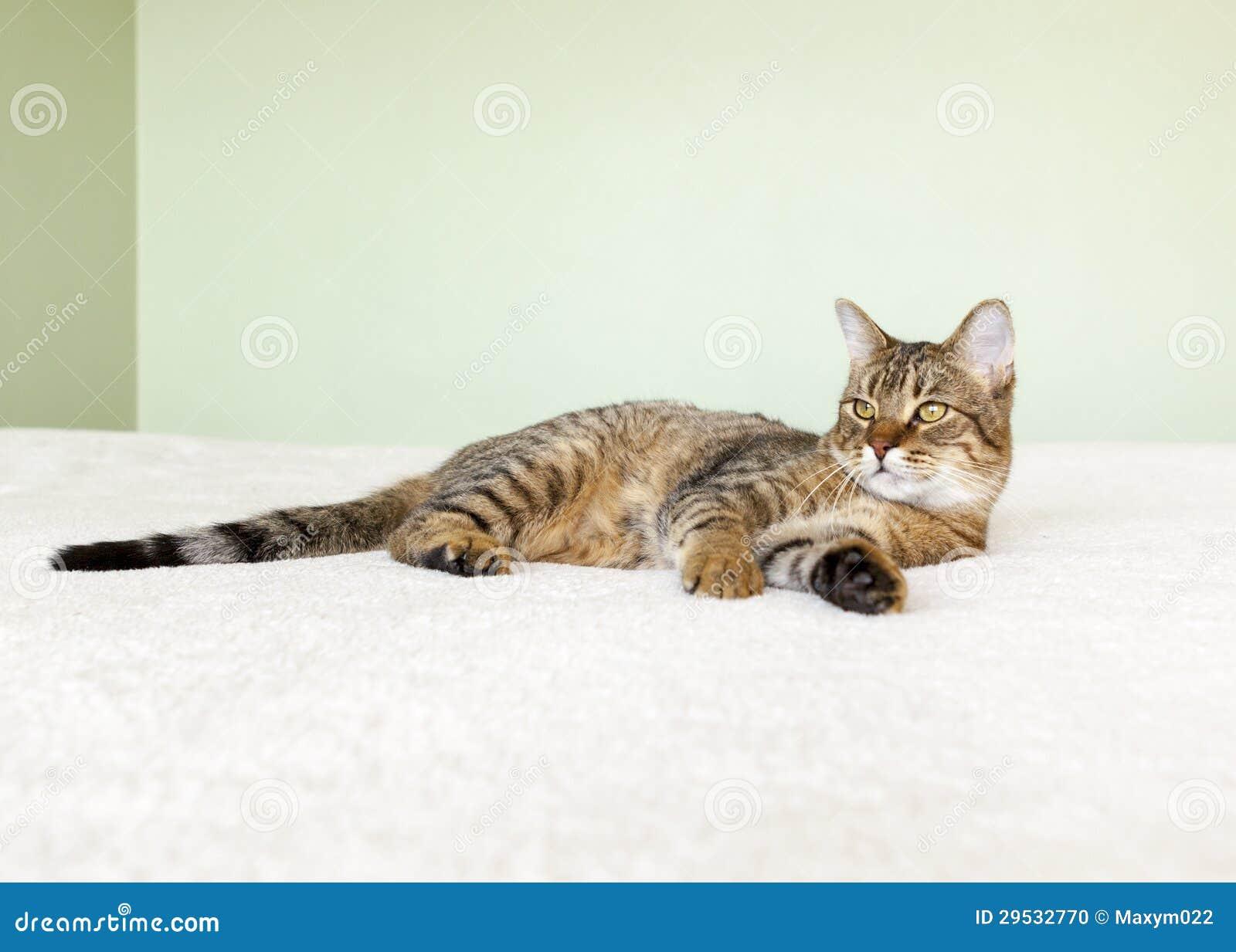 Gato de gato malhado pequeno