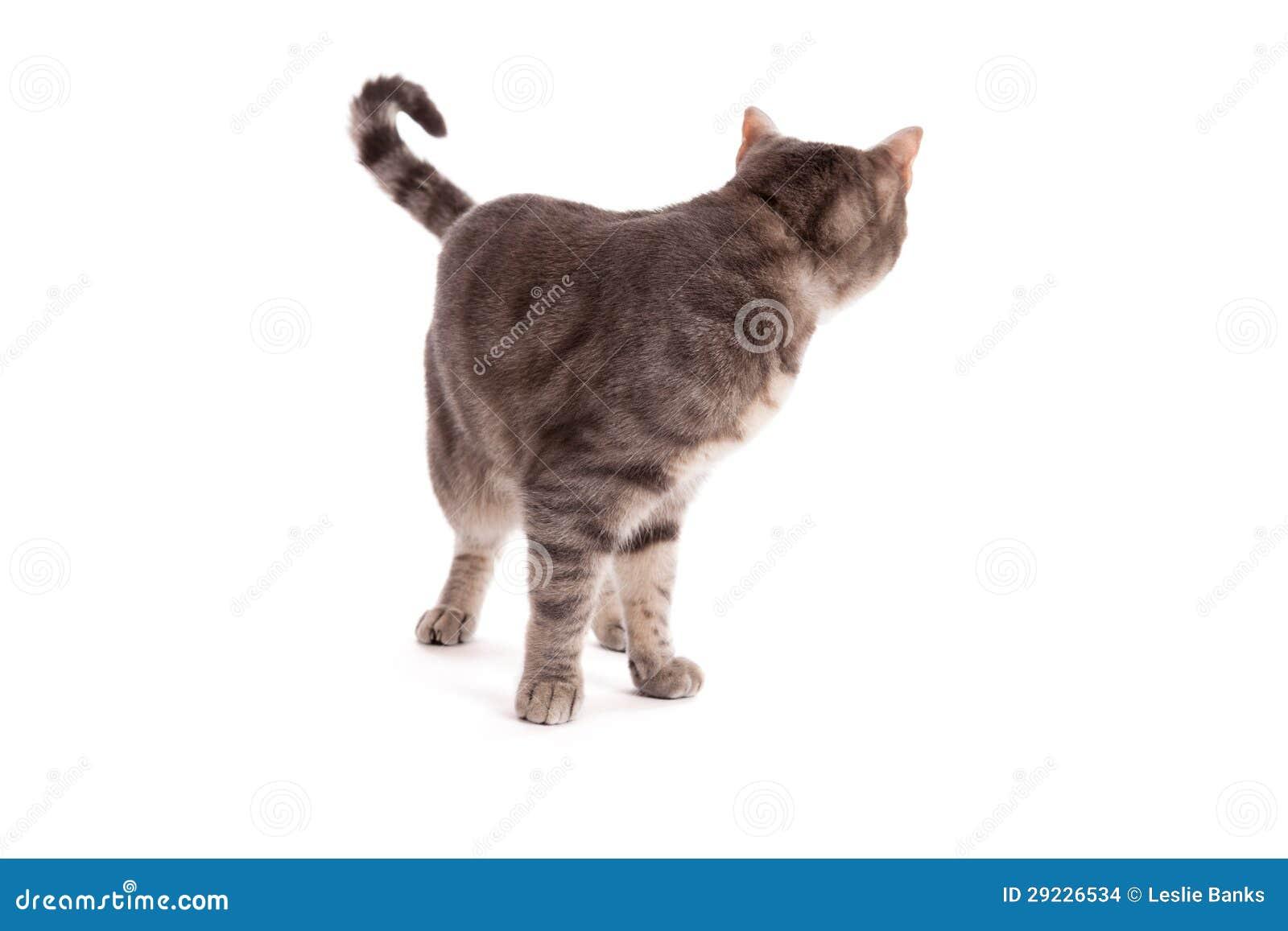 Download Gato De Gato Malhado Que Olha Para Trás Foto de Stock - Imagem de corpo, isolado: 29226534