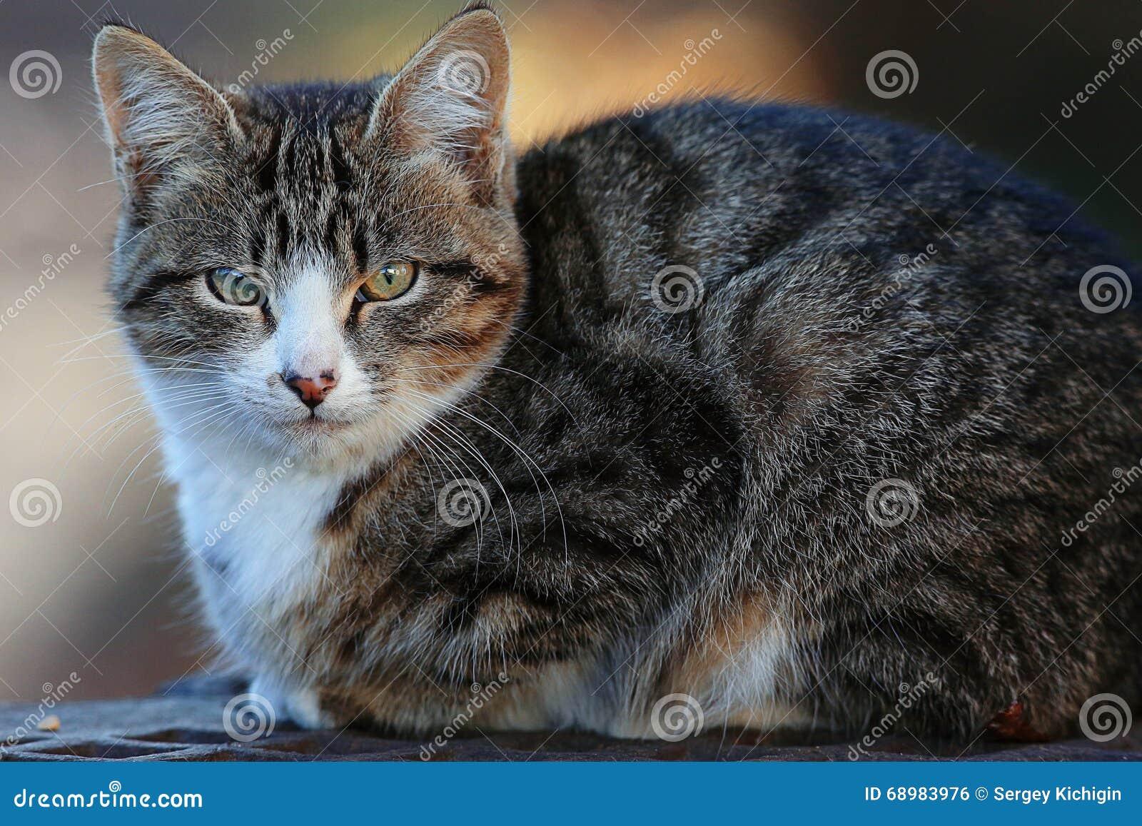 Gato de Gray Siberian