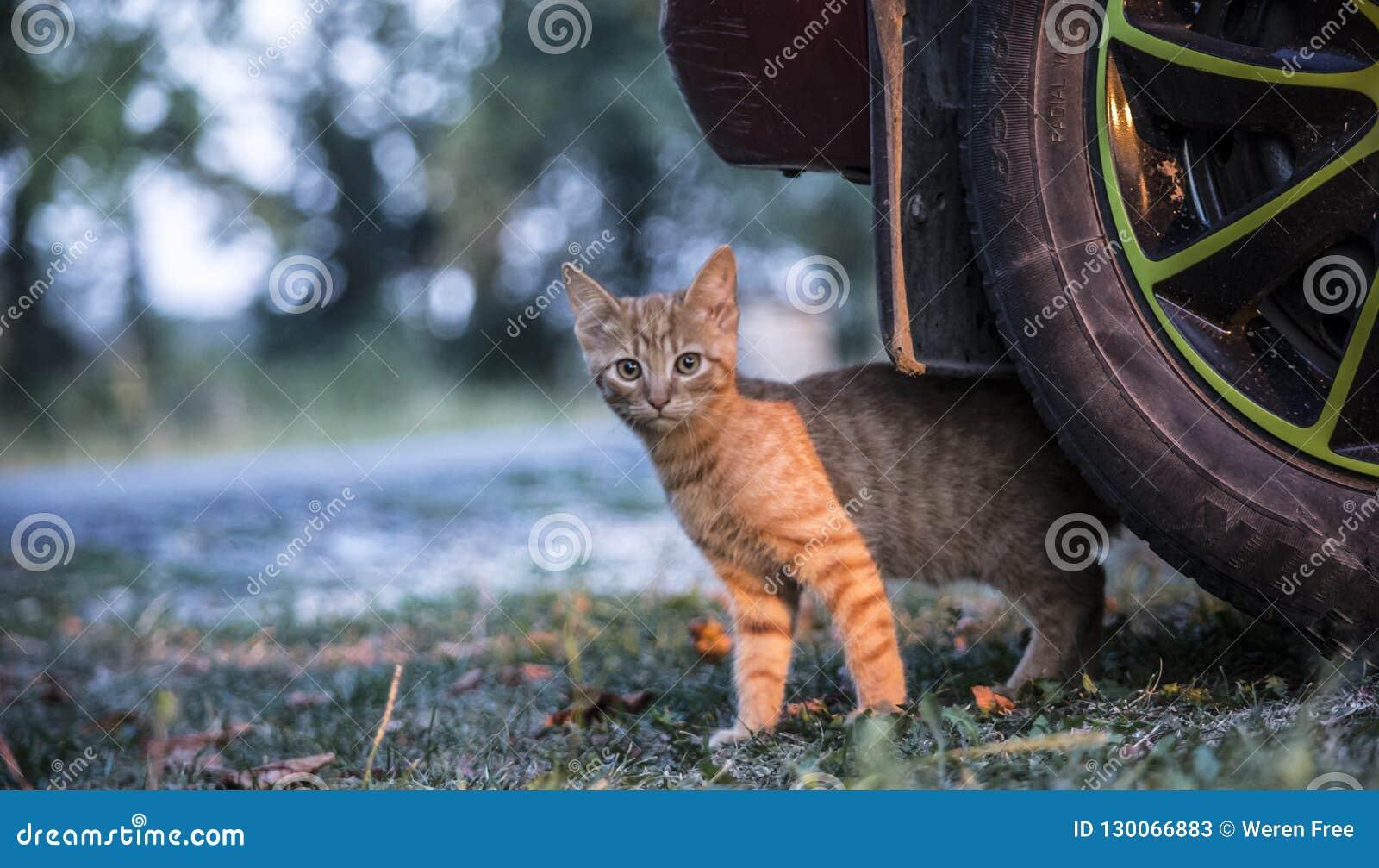 Gato de la mermelada que empuja hacia fuera de debajo el coche