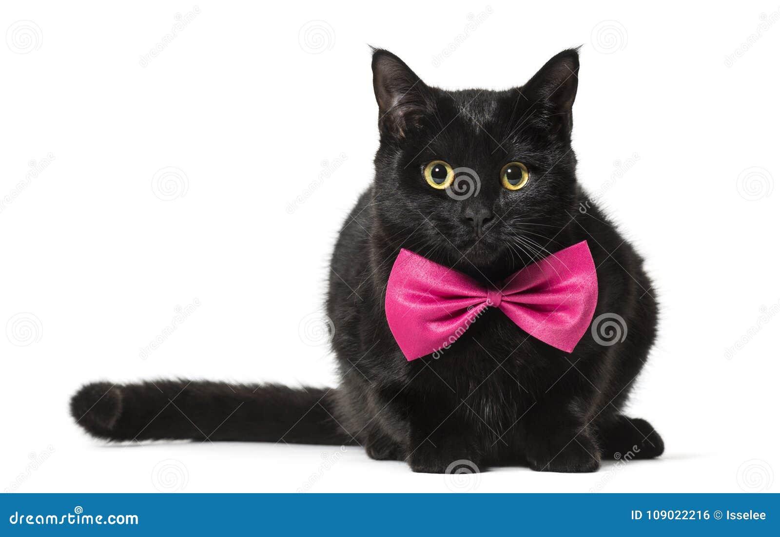 Gato de la Mezclado-raza en corbata de lazo rosada contra el fondo blanco