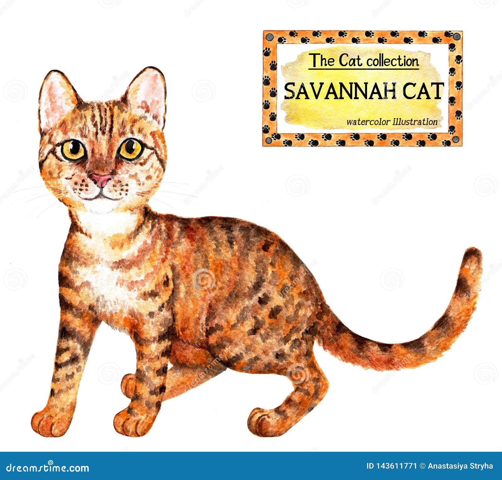 Gato de la sabana La colección del gato Ilustración de la acuarela