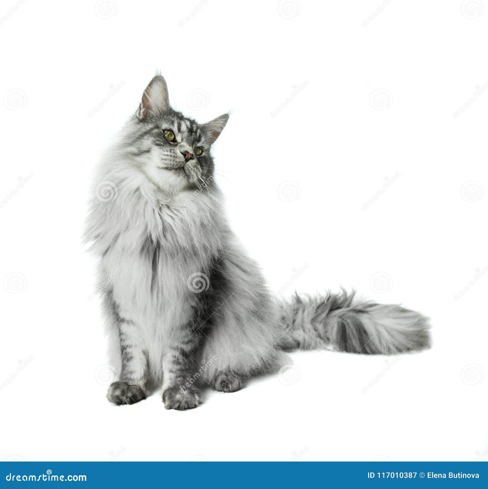 Gato de Maine Coon que senta-se e que olha afastado, isolado no branco