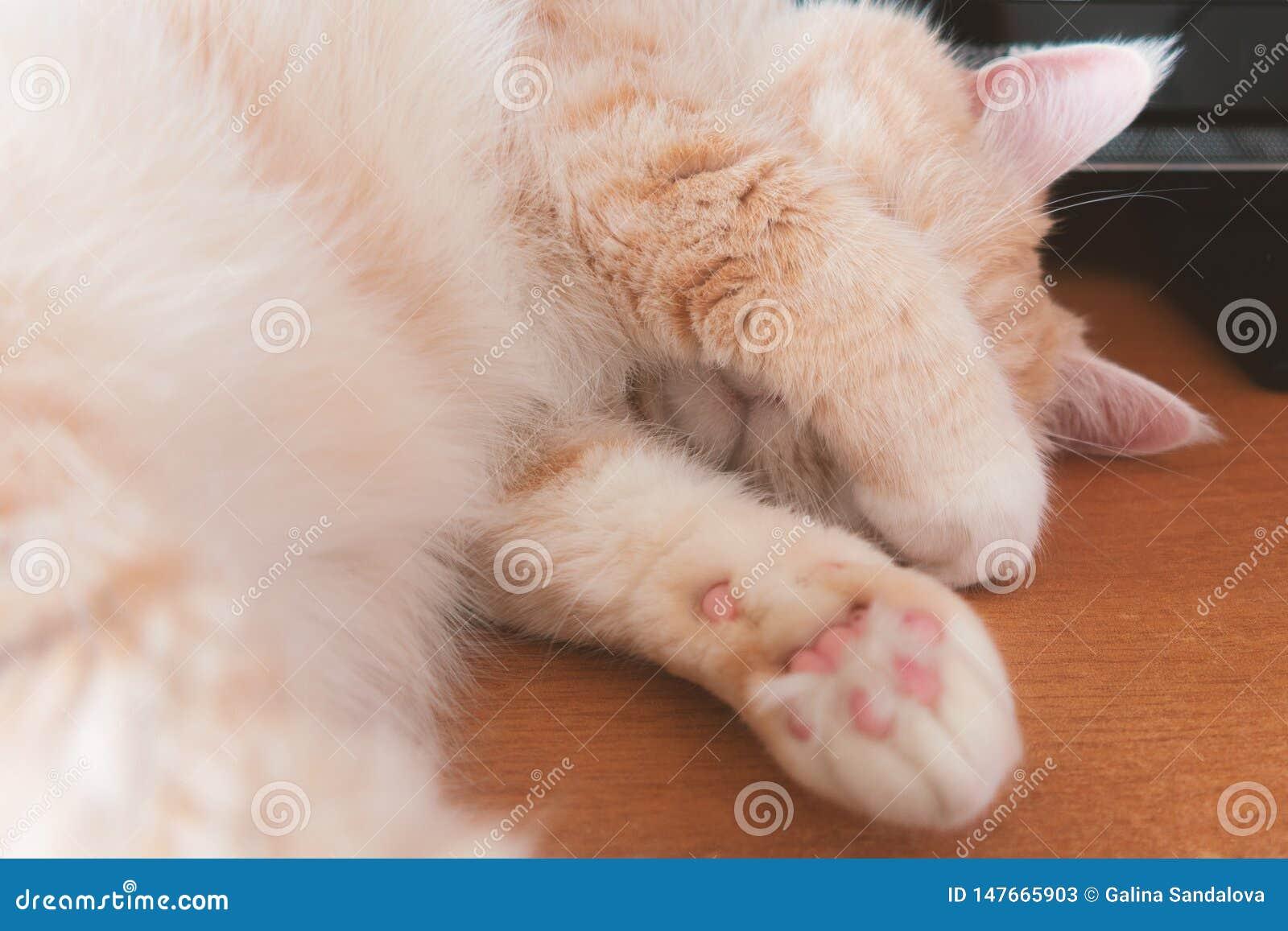 Gato de gato malhado de creme bonito que dorme na tabela que cobre sua cara com suas patas