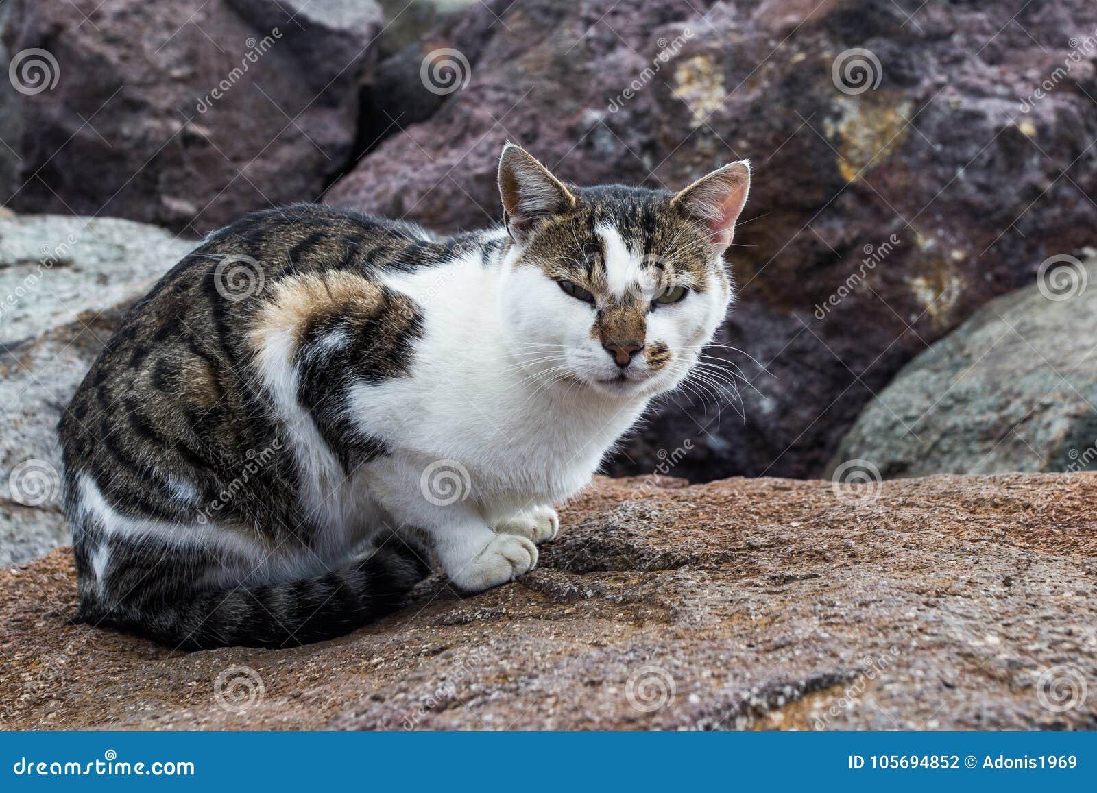Gato de gato malhado na rocha
