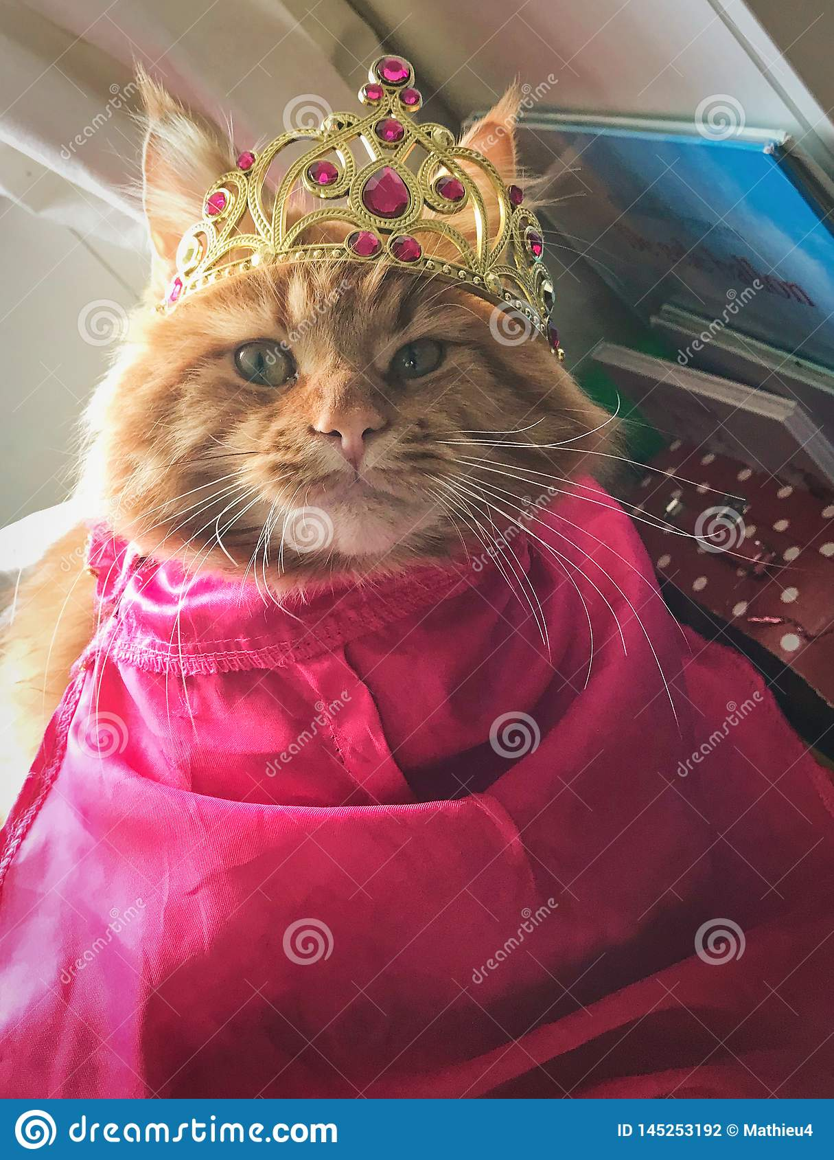 Gato de mapache rojo de Maine vestido encima como de princesa Ana de congelado con la corona y el cabo