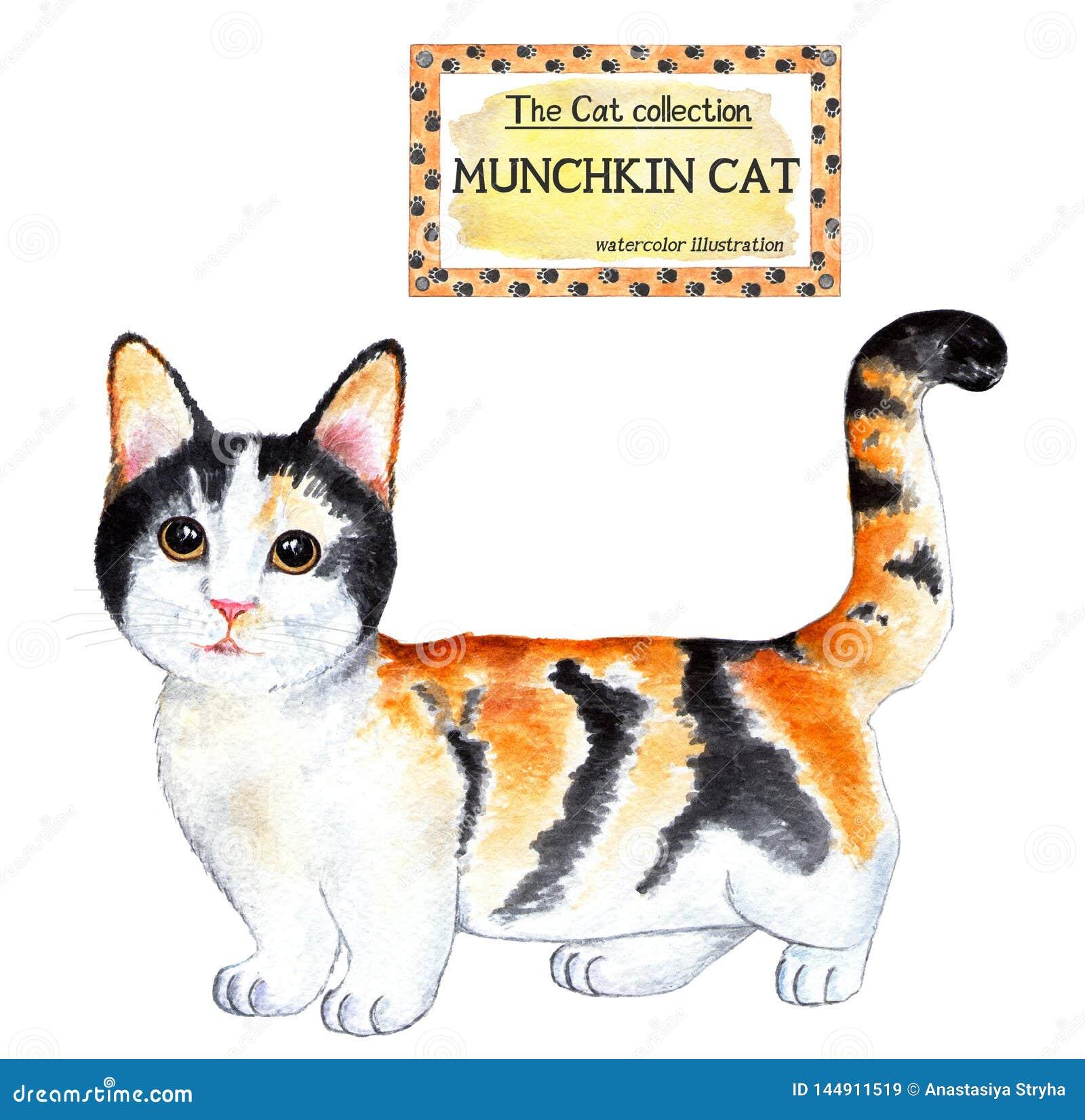 Gato de Munchkin La colecci?n del gato Ilustraci?n de la acuarela
