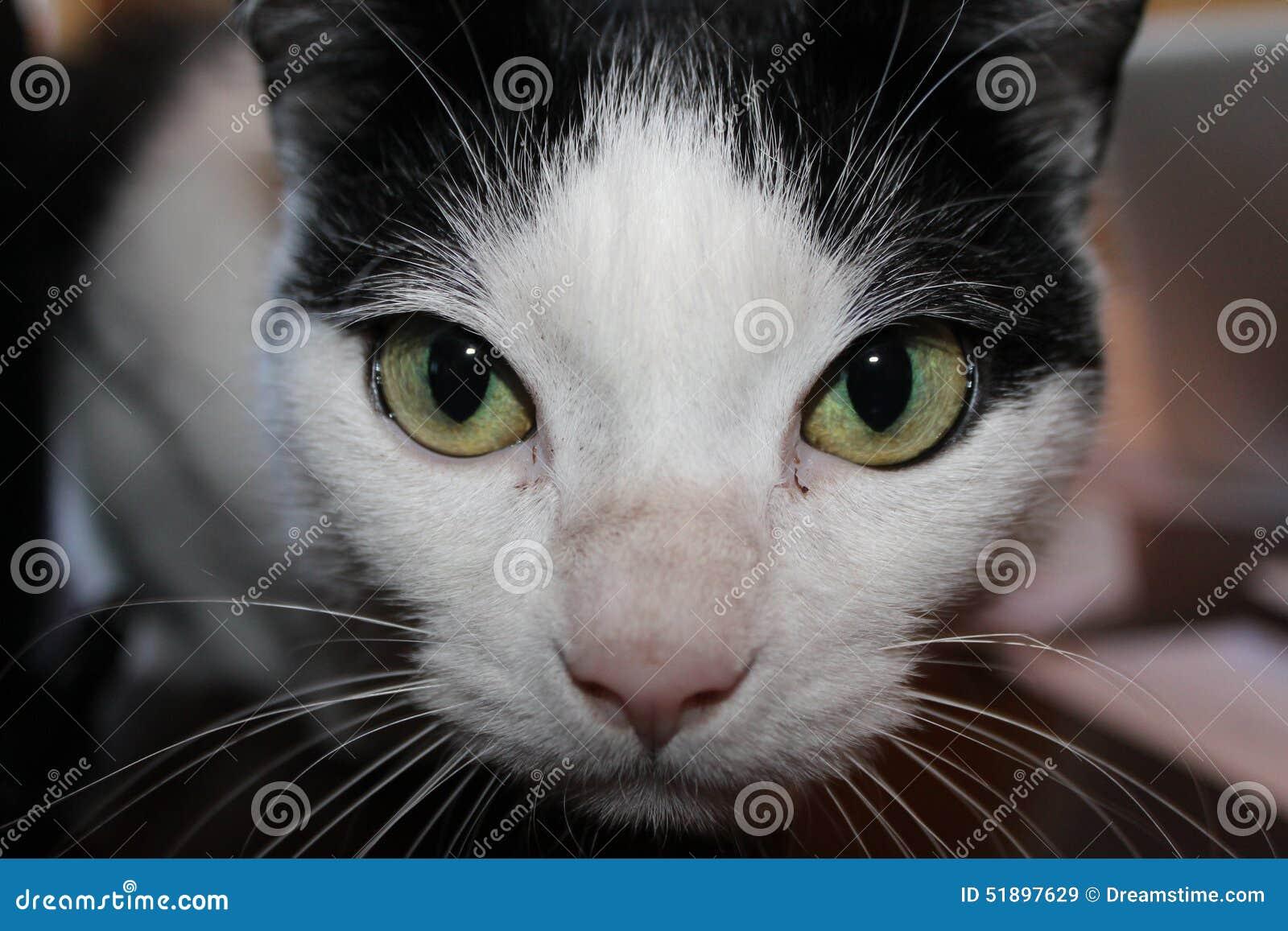 Gato De Ojos Verdes Blanco Y Negro Imagen De Archivo Imagen De
