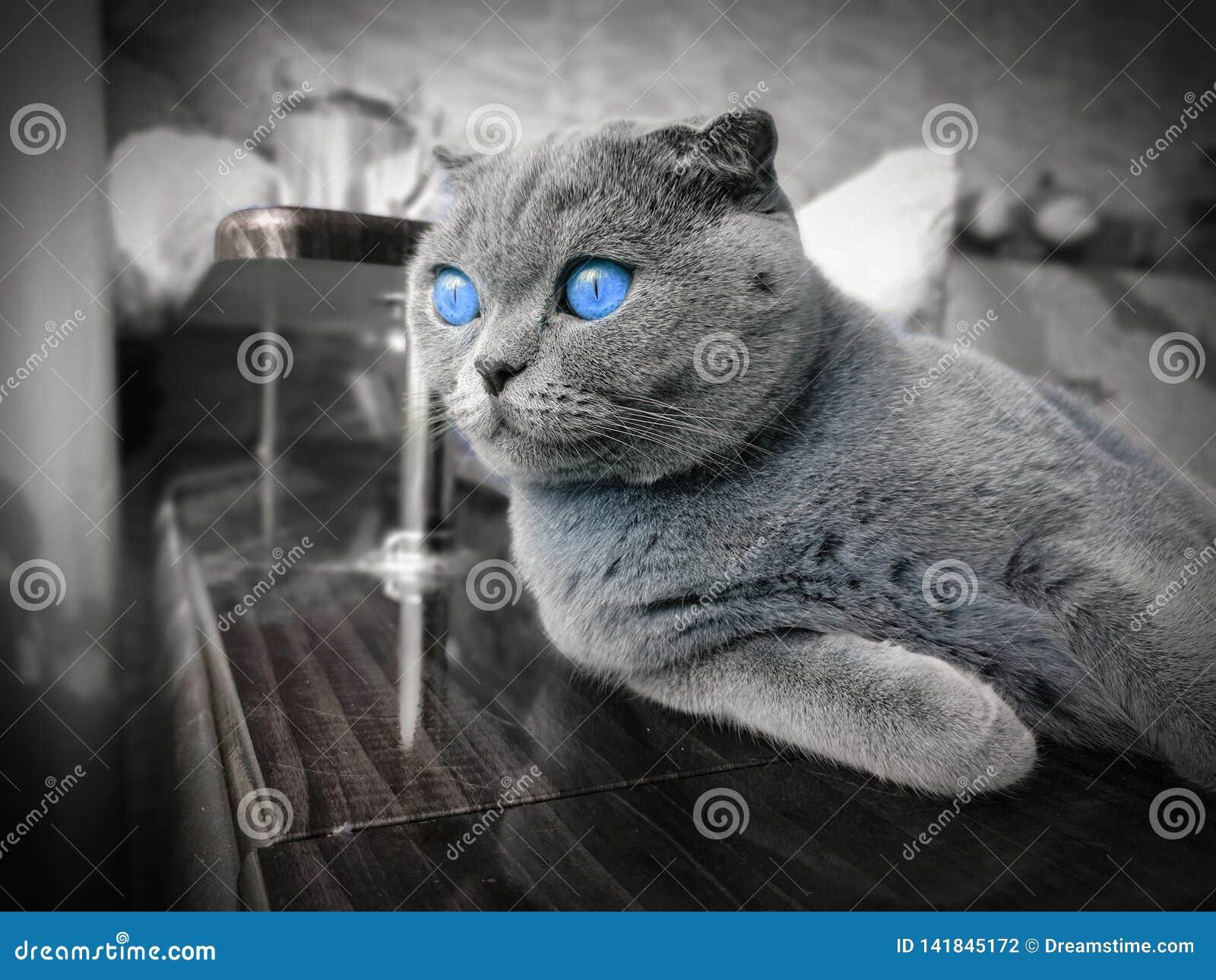 Gato de orejas ca3idas con los ojos azules