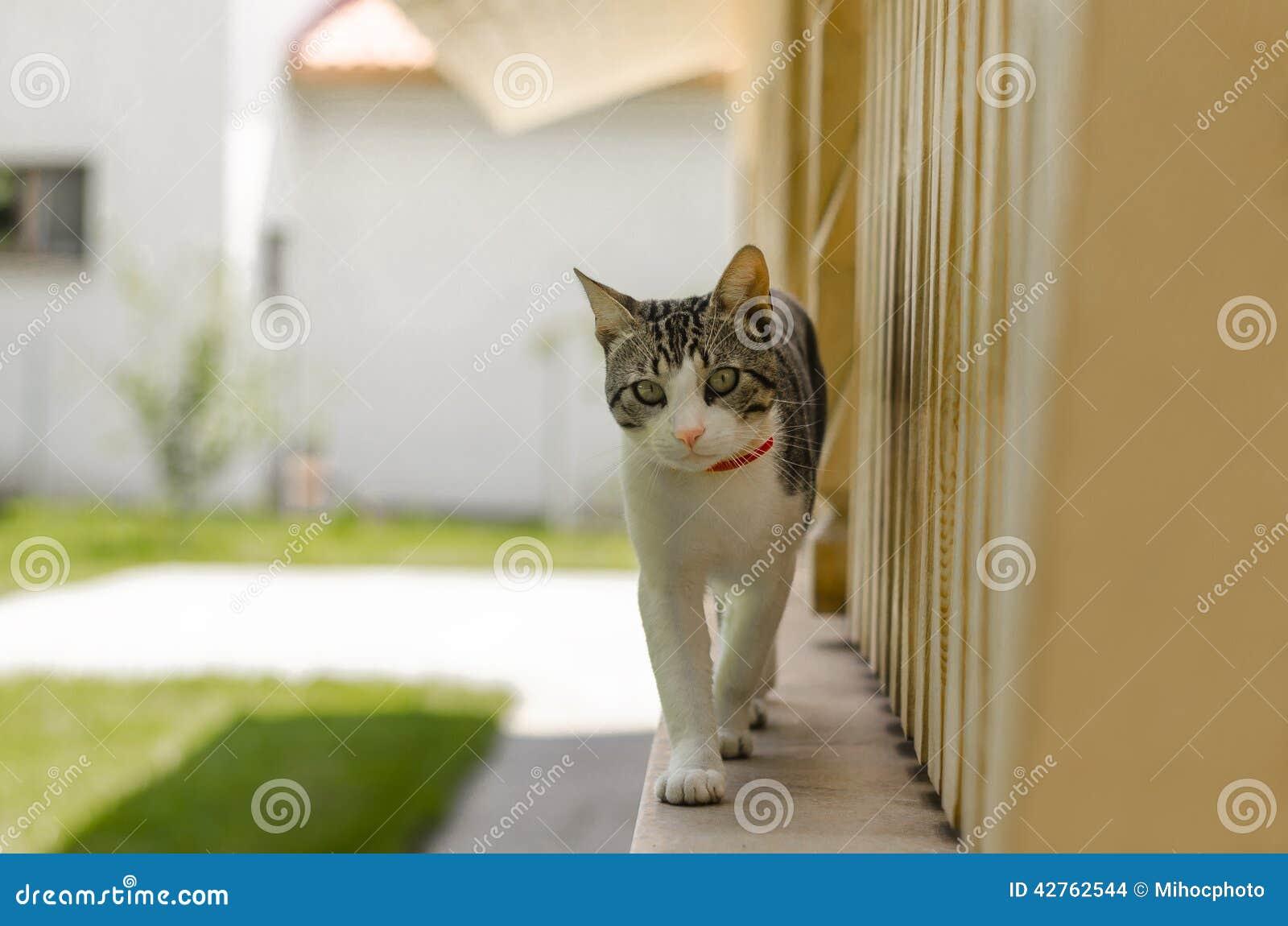 Gato de passeio