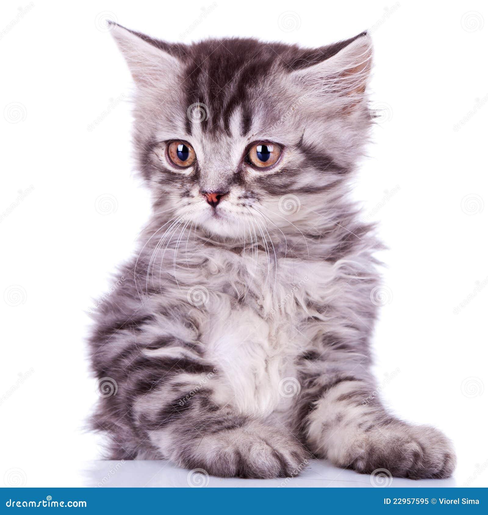 Gato de plata lindo del bebé del tabby