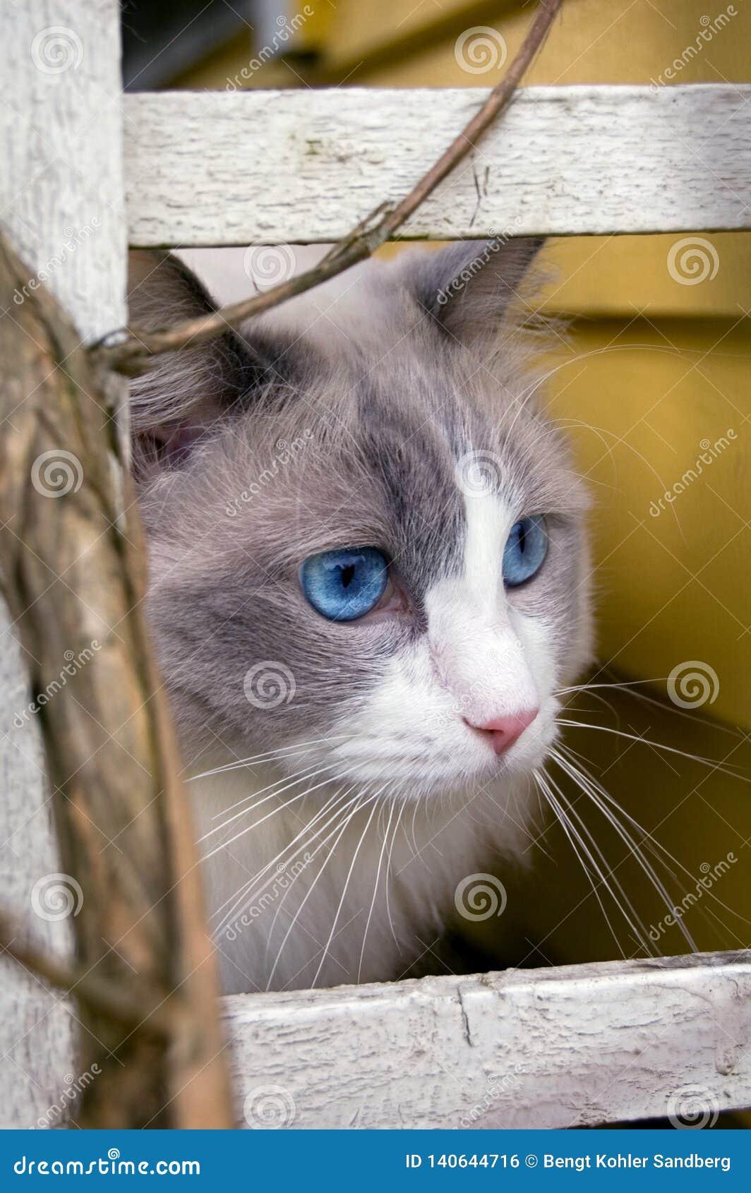 Gato de Ragdoll que mira algo en una distancia