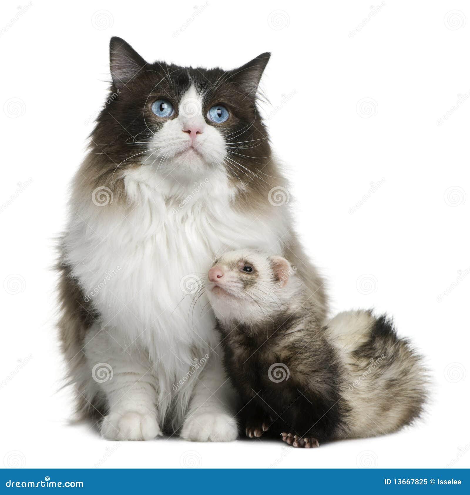 Gato de Ragdoll y un hurón