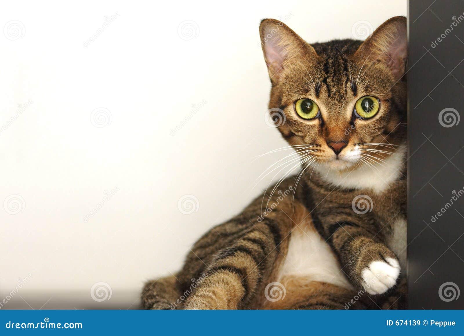 Gato de tabby bonito