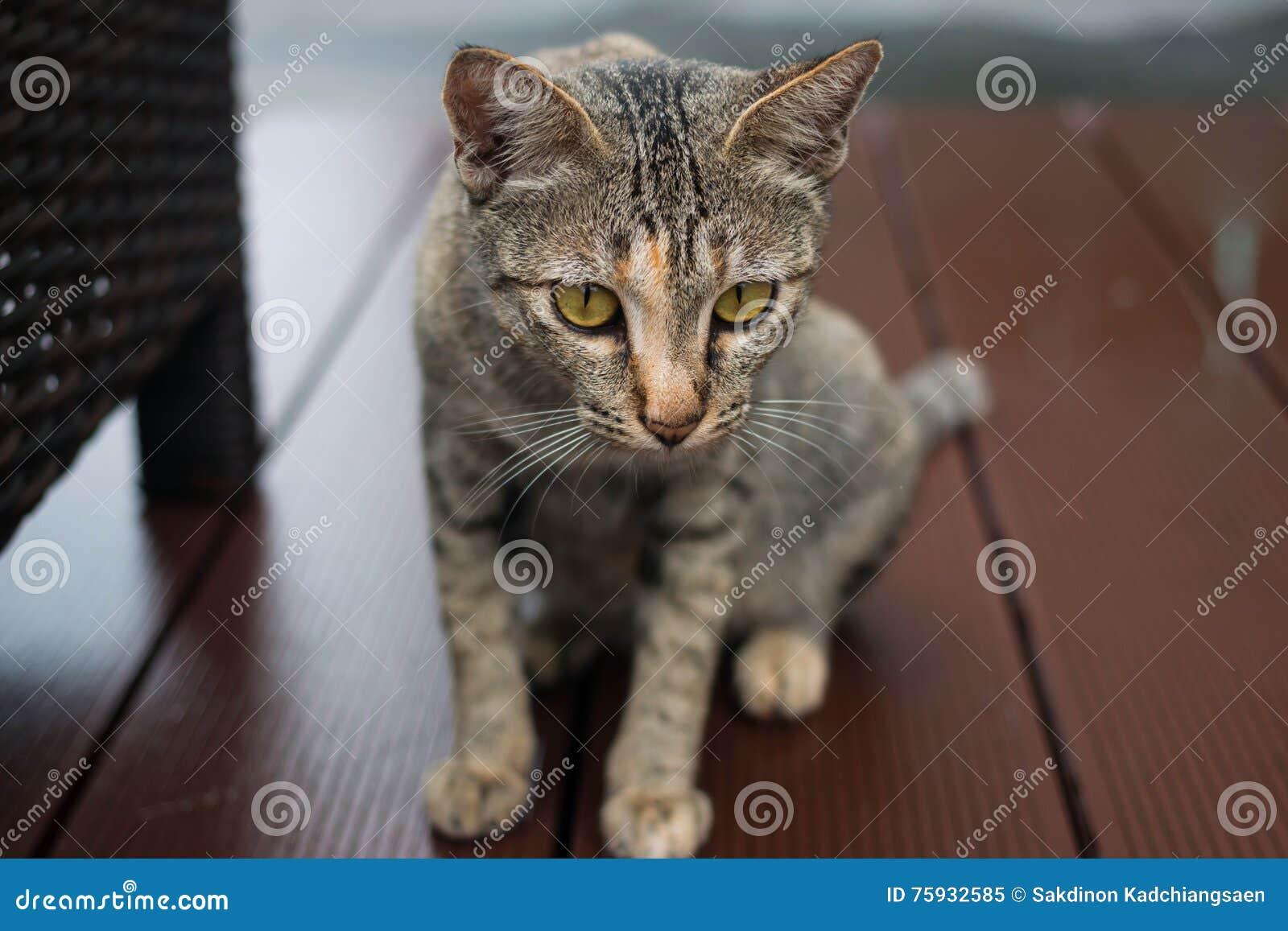 Gato de Tabby que olha a câmera