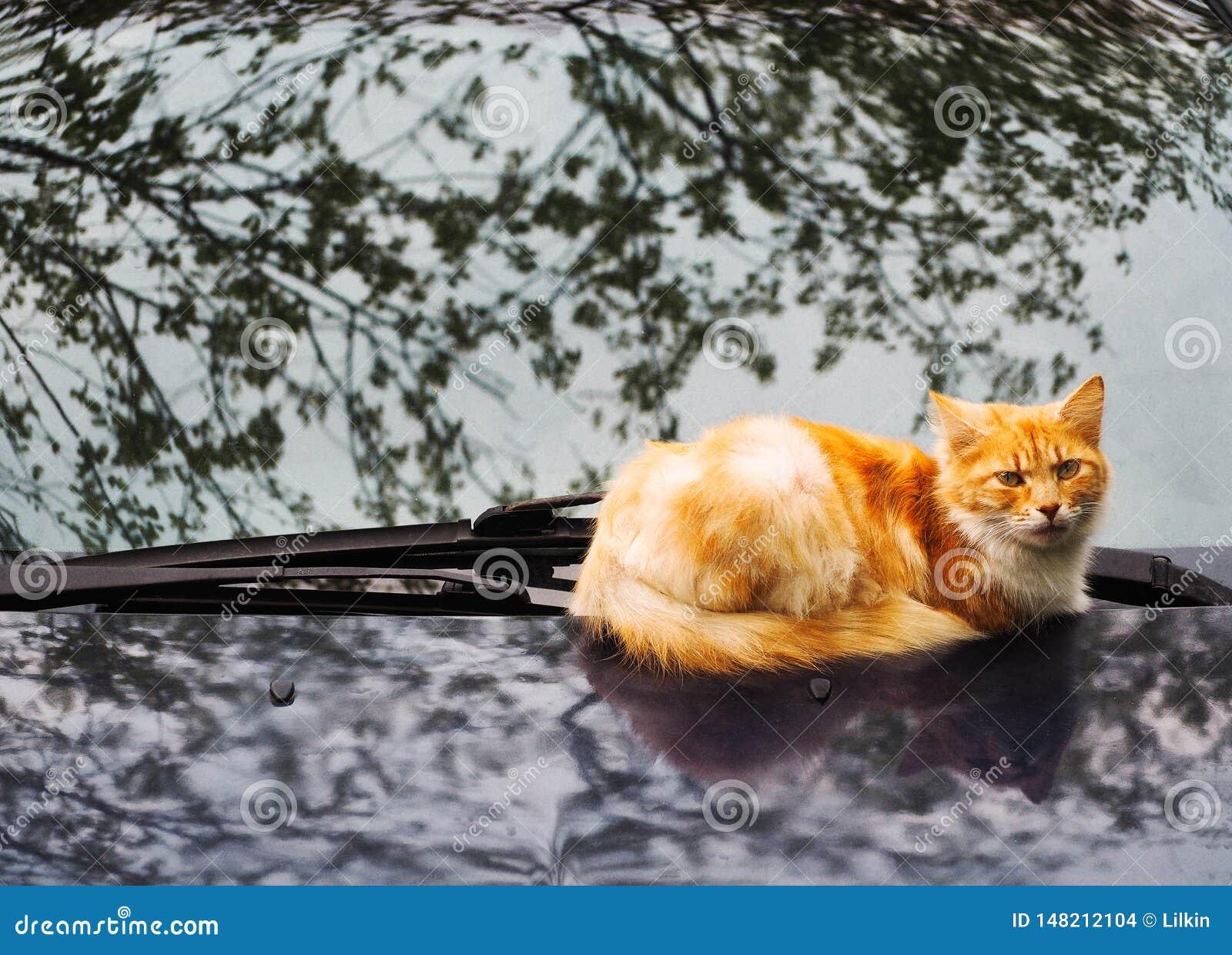Gato del jengibre que miente en capo del coche