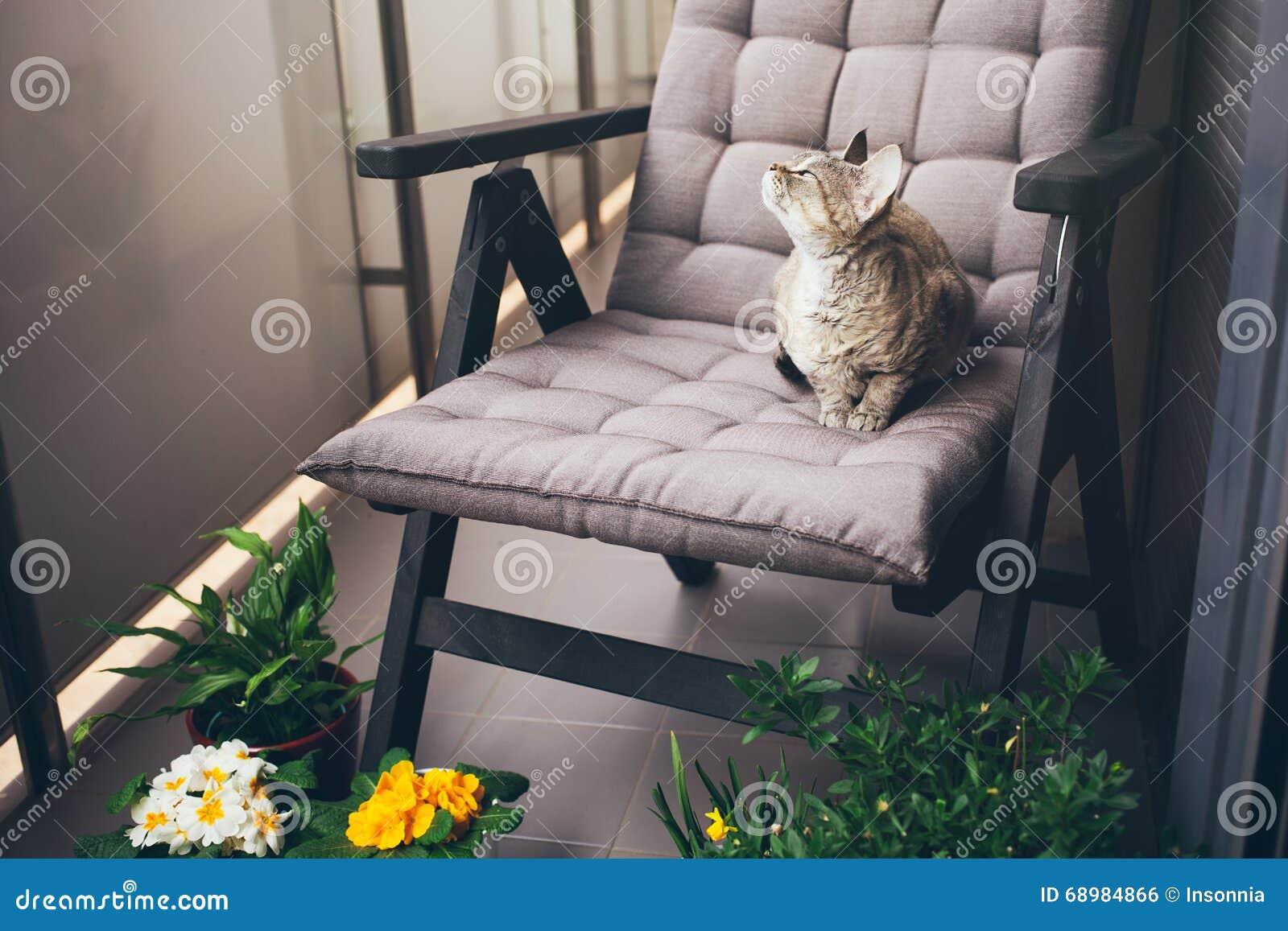 Gato del rex de Devon que se sienta en silla en el balcón