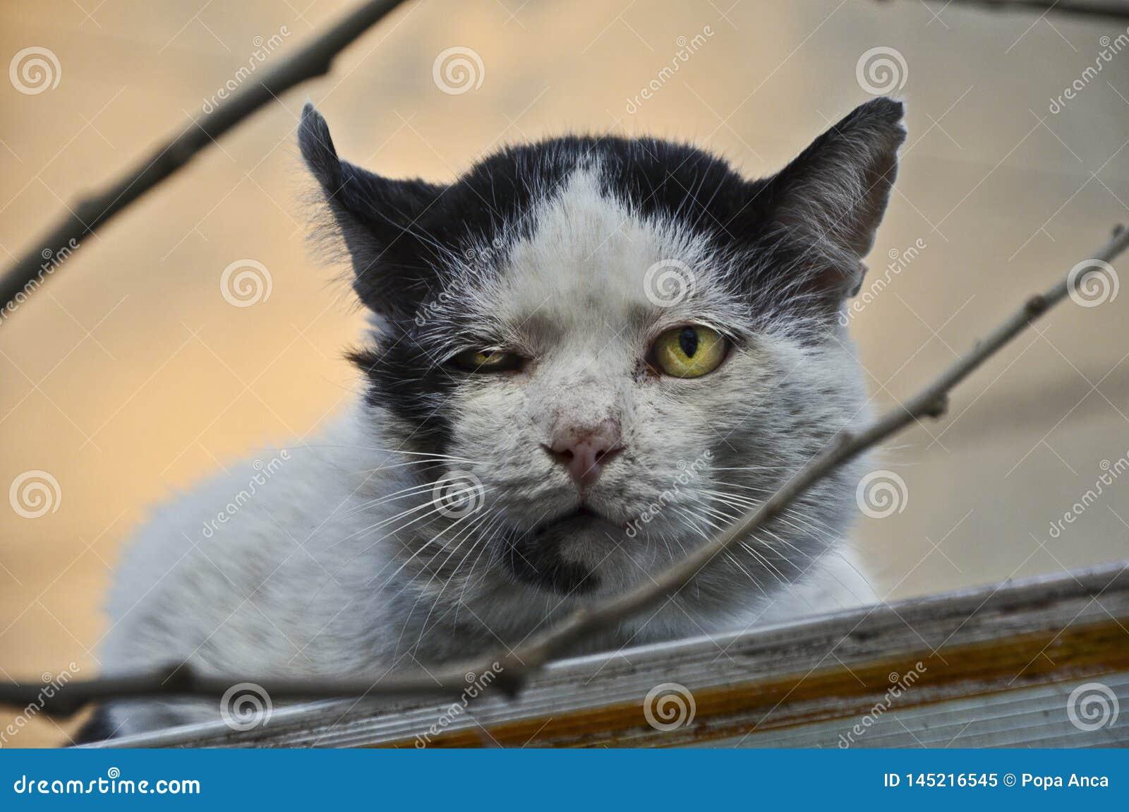 Gato disperso adulto com as feridas velhas das lutas do território