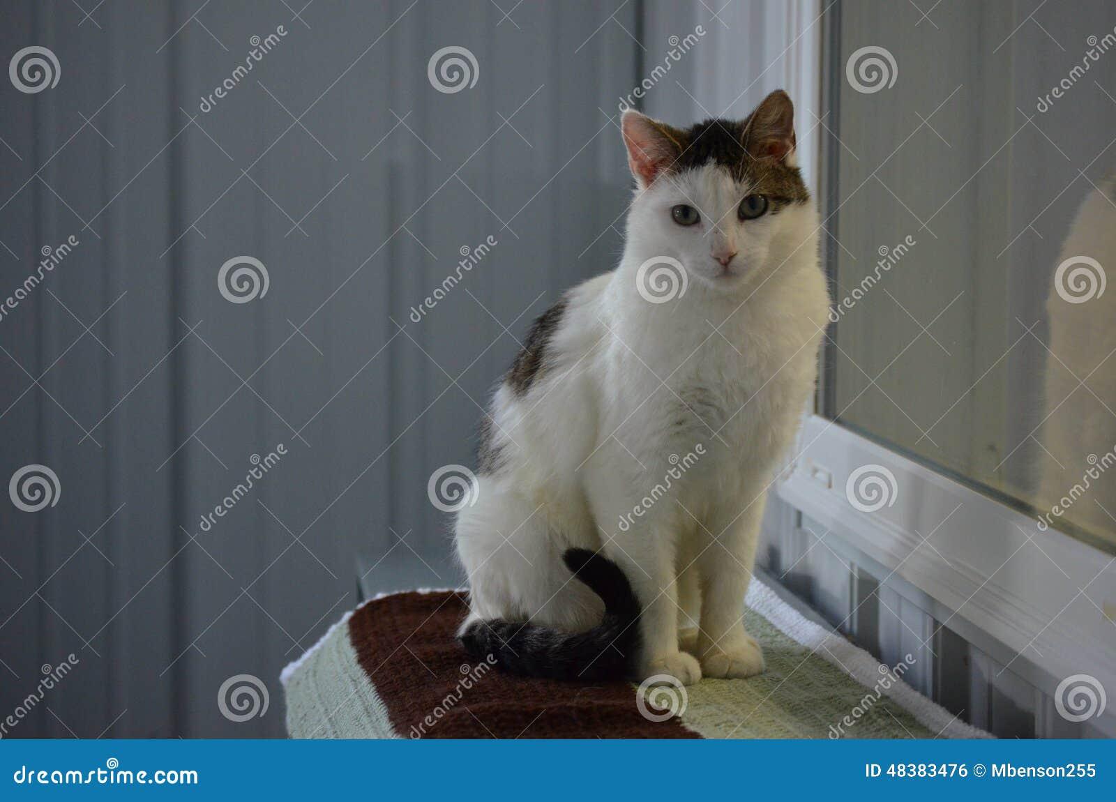 Gato do abrigo - vaquinha bonita de Shorthair