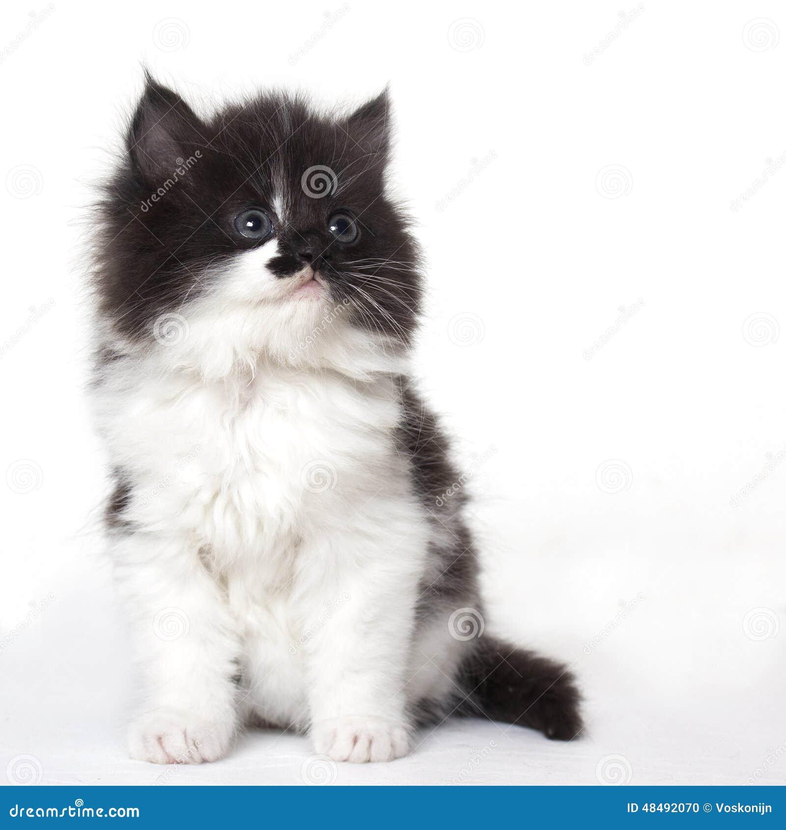 Gato do gatinho