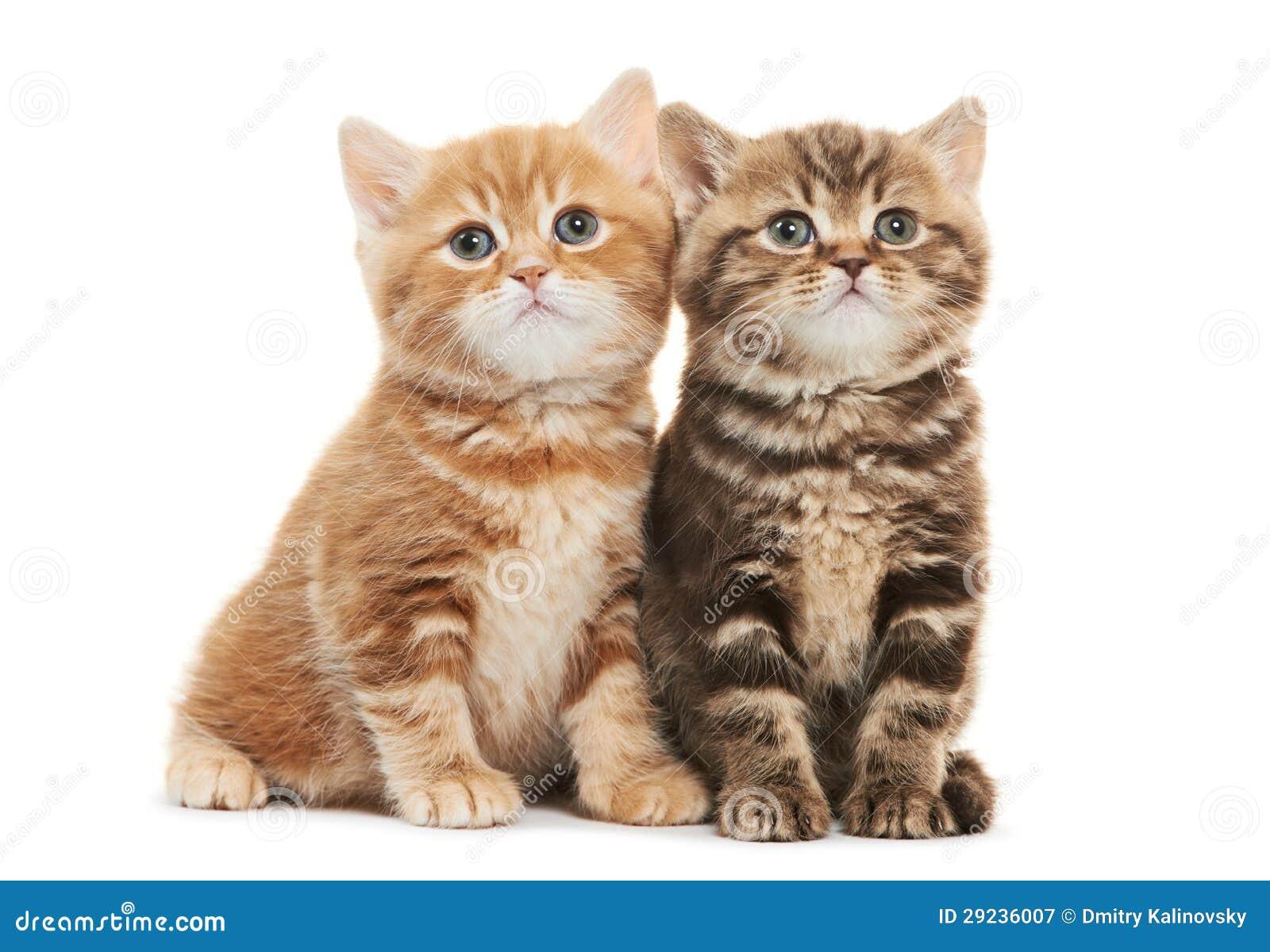 Download Gato Do Gatinho De Dois Ingleses Shorthair Isolado Imagem de Stock - Imagem de jogo, encontrar: 29236007