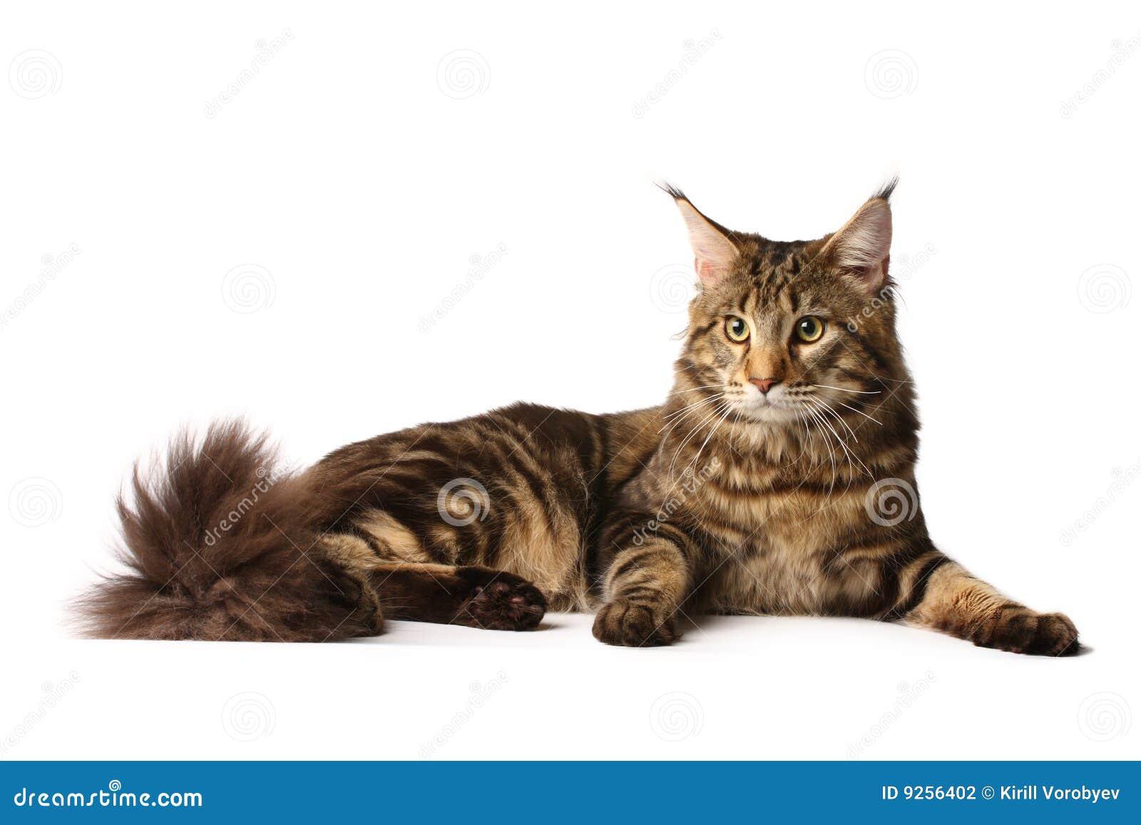 Gato do Maine-coon