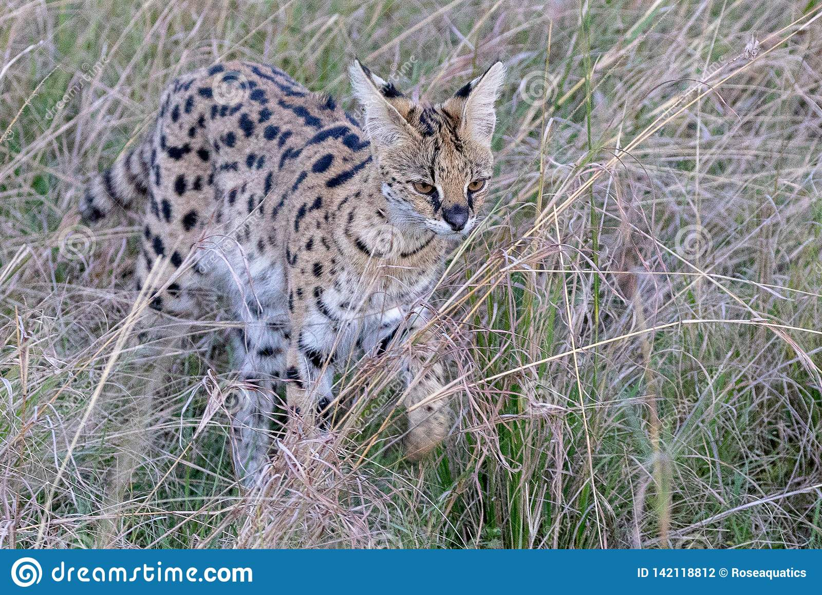 Gato do Serval, Kenya, África