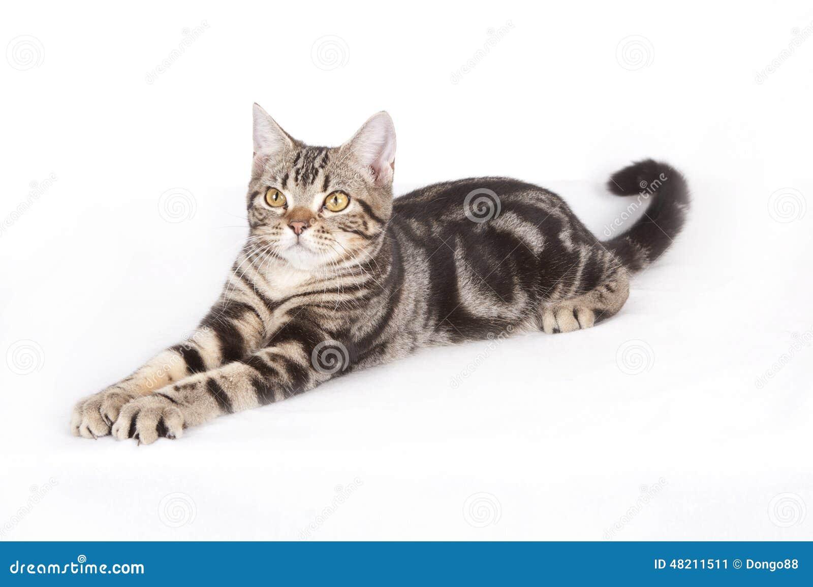 Gato do shorthair de América