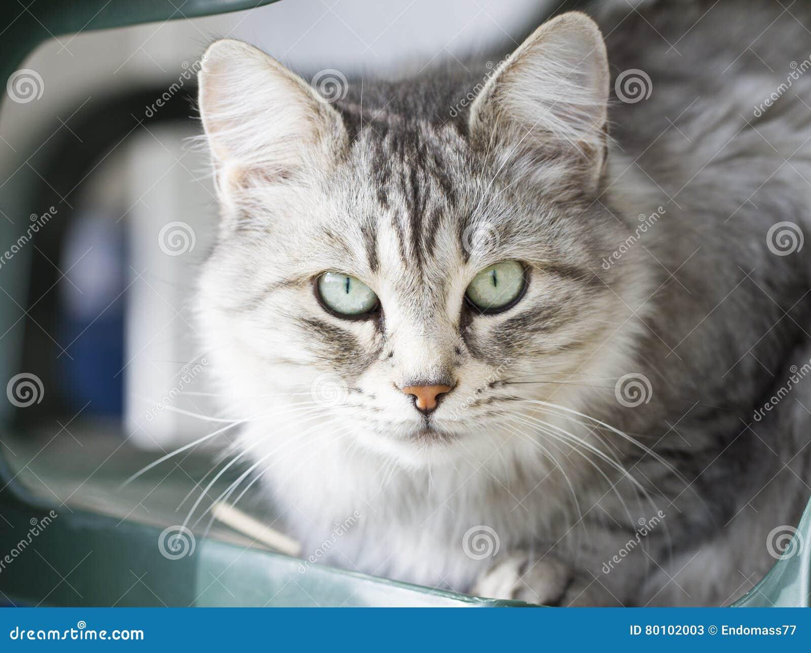 Gato doméstico de prata bonito da raça siberian no jardim