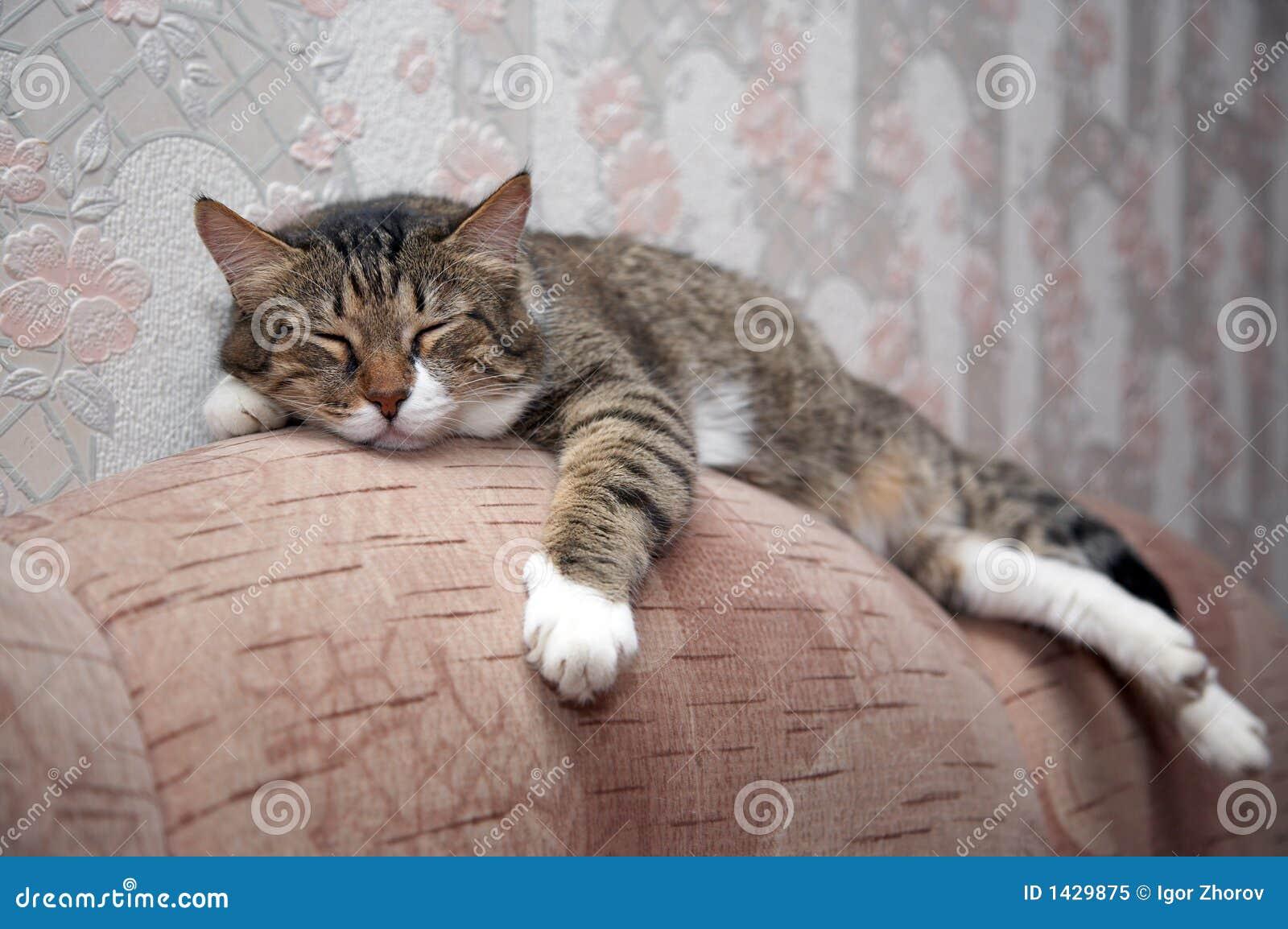 Gato el dormir