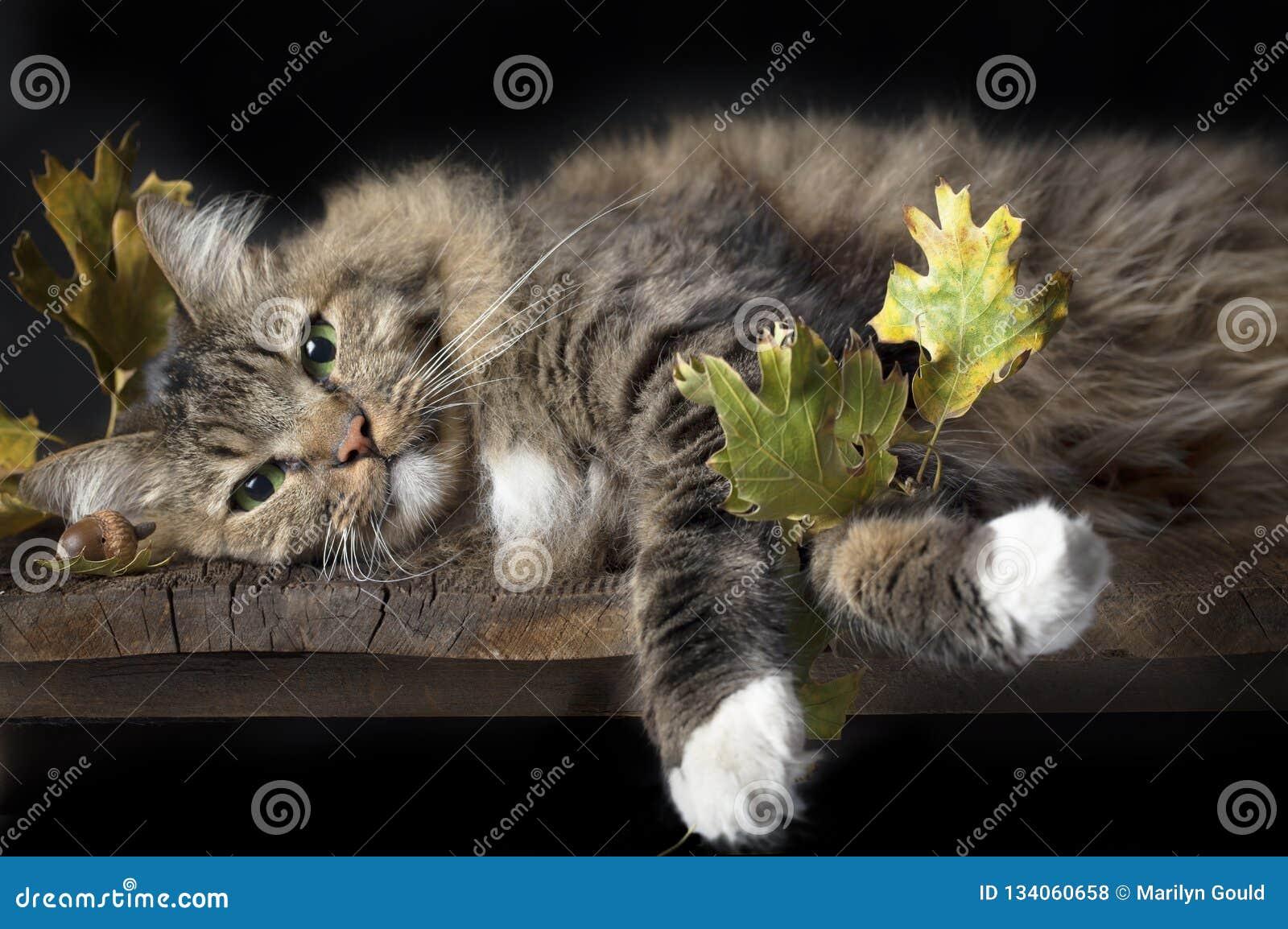 Gato en el estante de madera con las hojas de la caída
