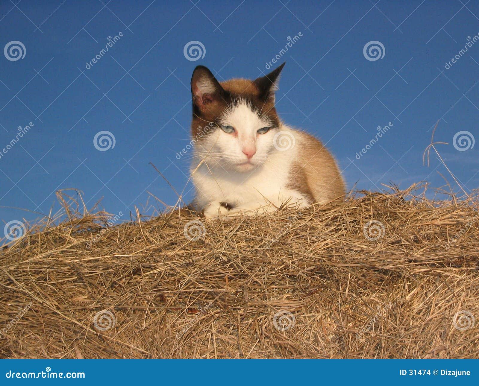 Download Gato en el heno foto de archivo. Imagen de piel, apacible - 31474