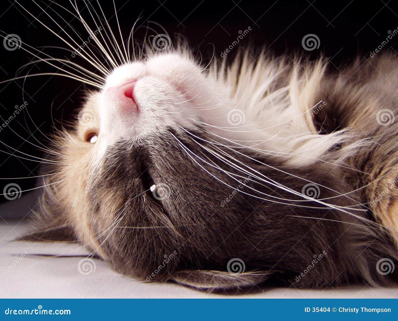 Download Gato en ella detrás foto de archivo. Imagen de peludo, pata - 35404