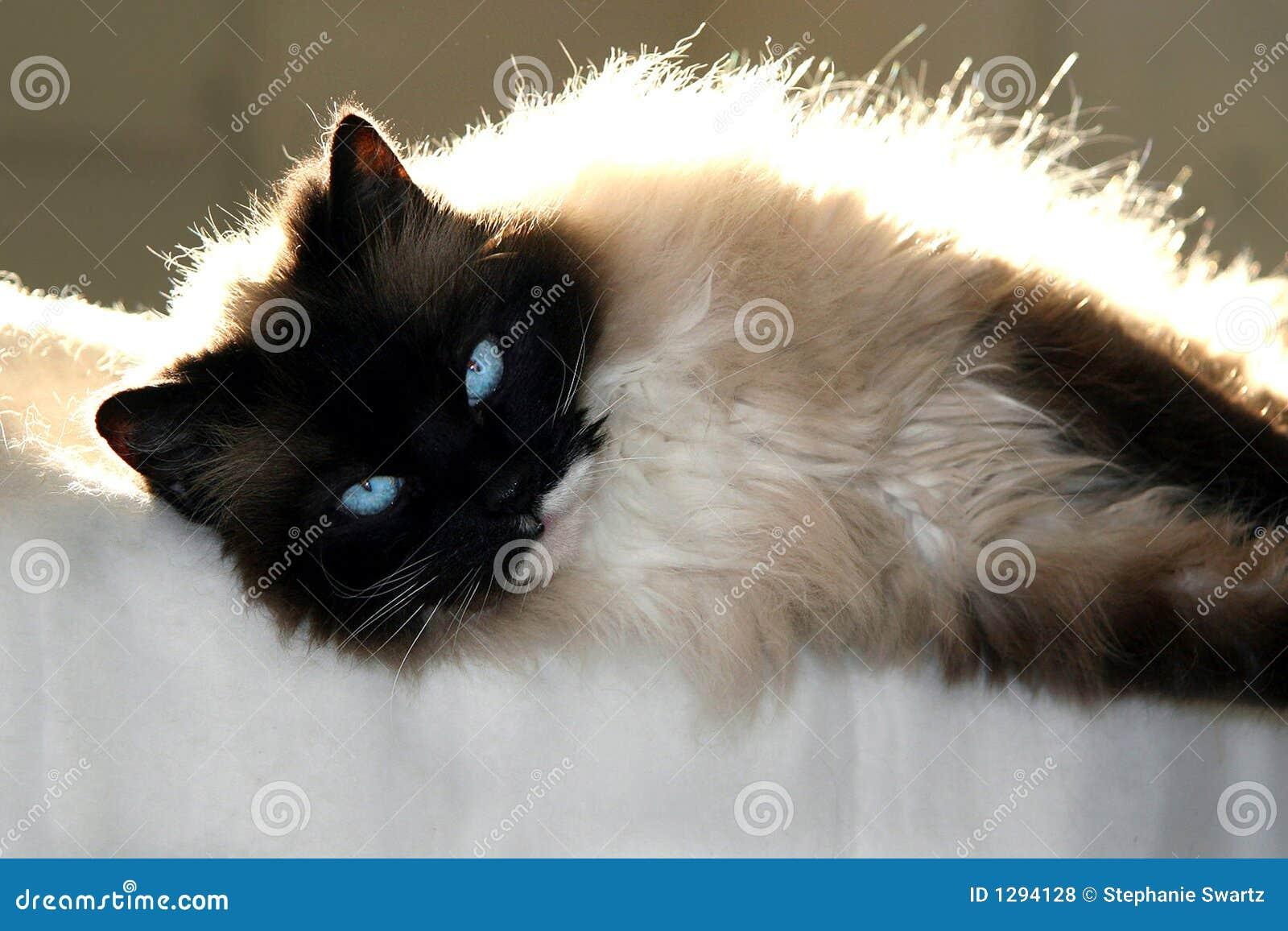 Download Gato en la manta foto de archivo. Imagen de peludo, sello - 1294128