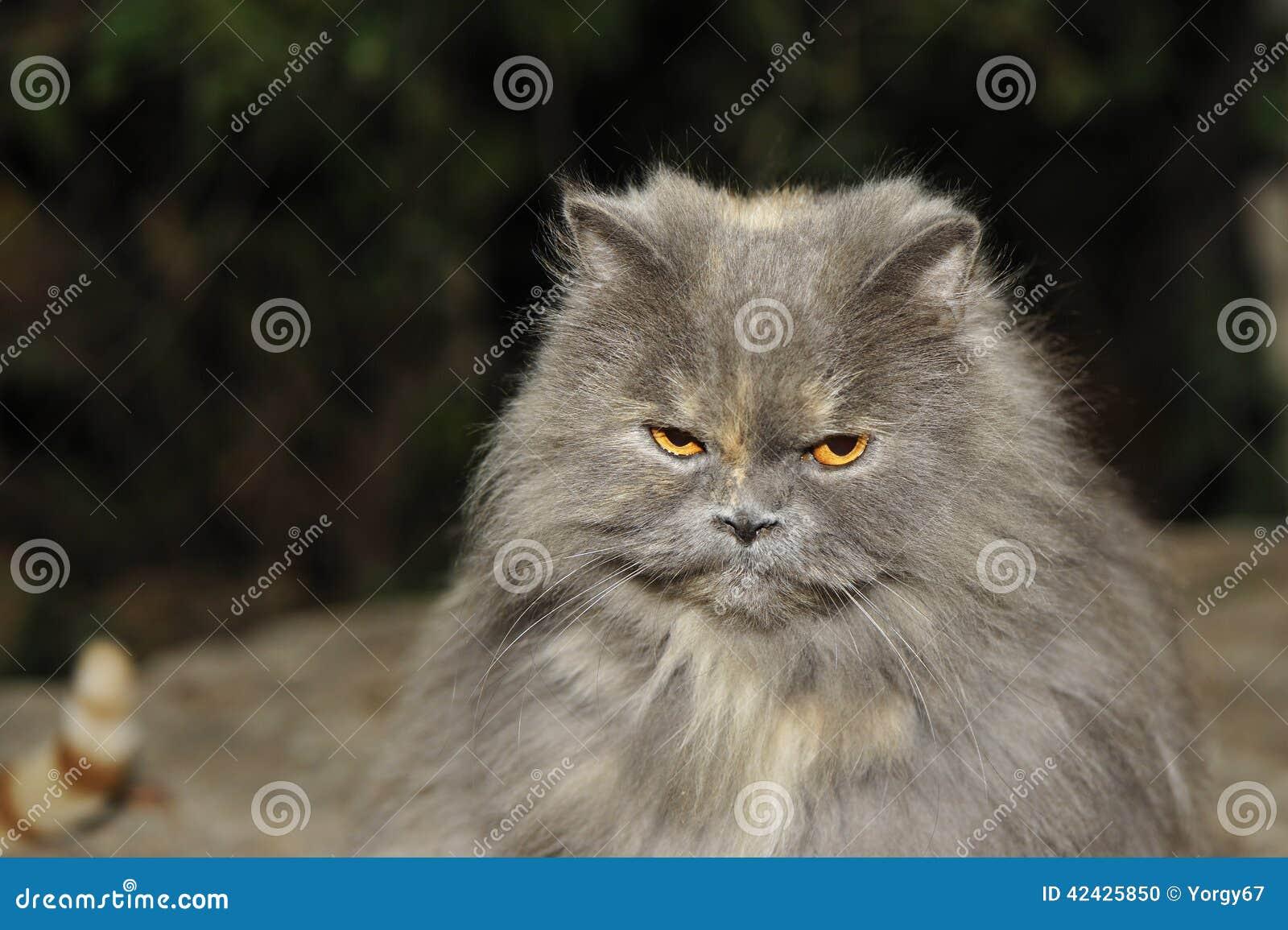 Gato enojado