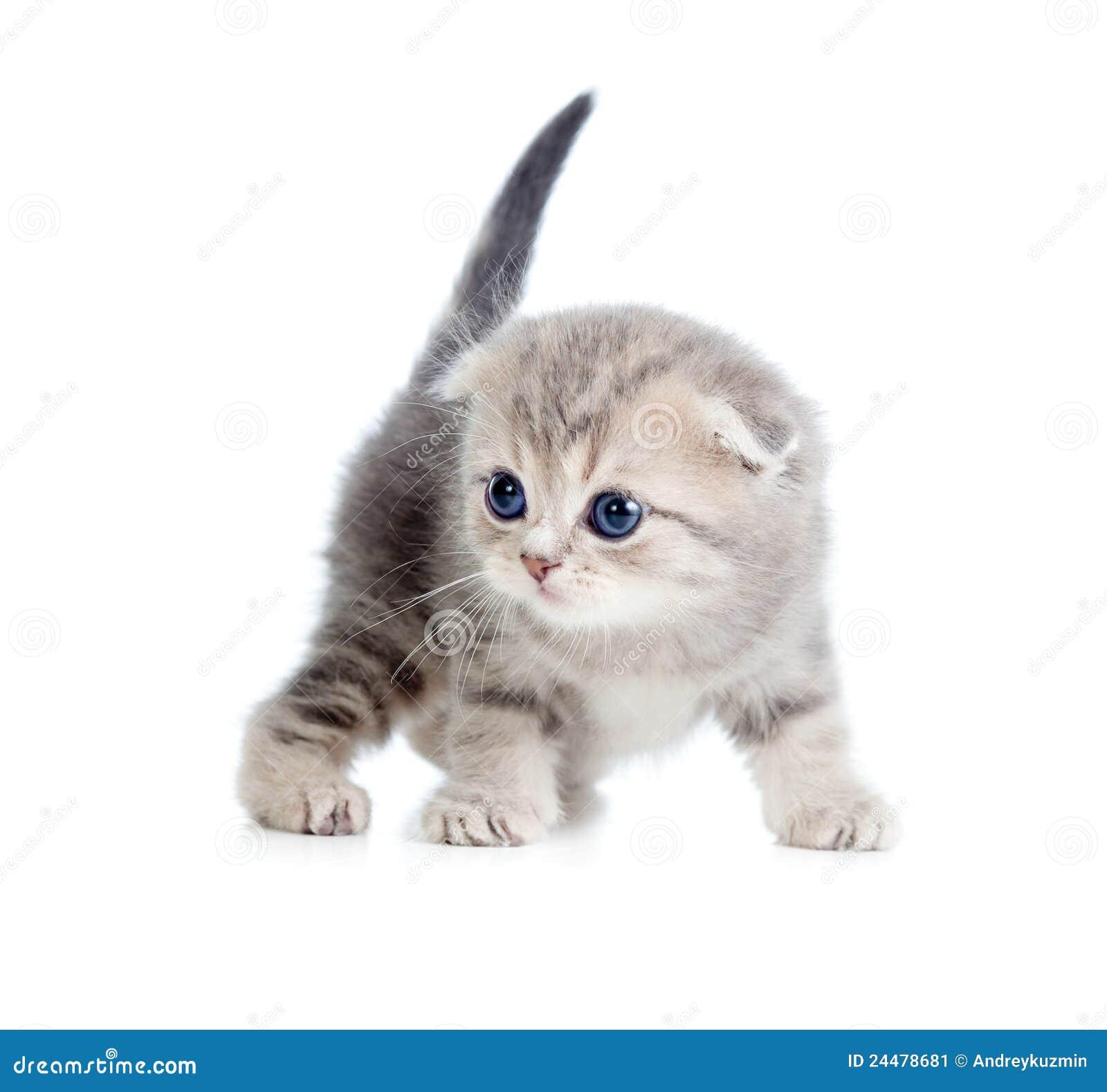 Gato escocés gris agradable del bebé un mes de viejo