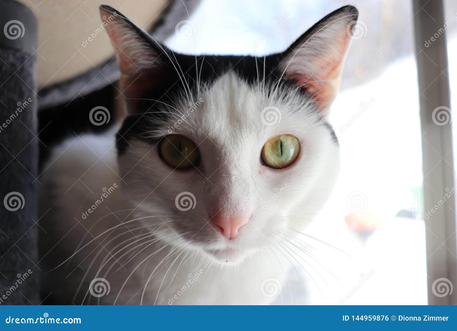 Gato eyed amarillo