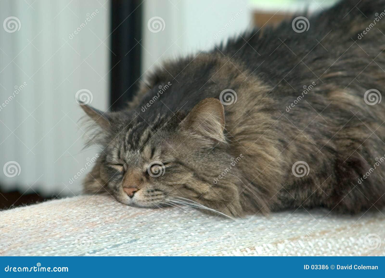 Gato gordo de Ali