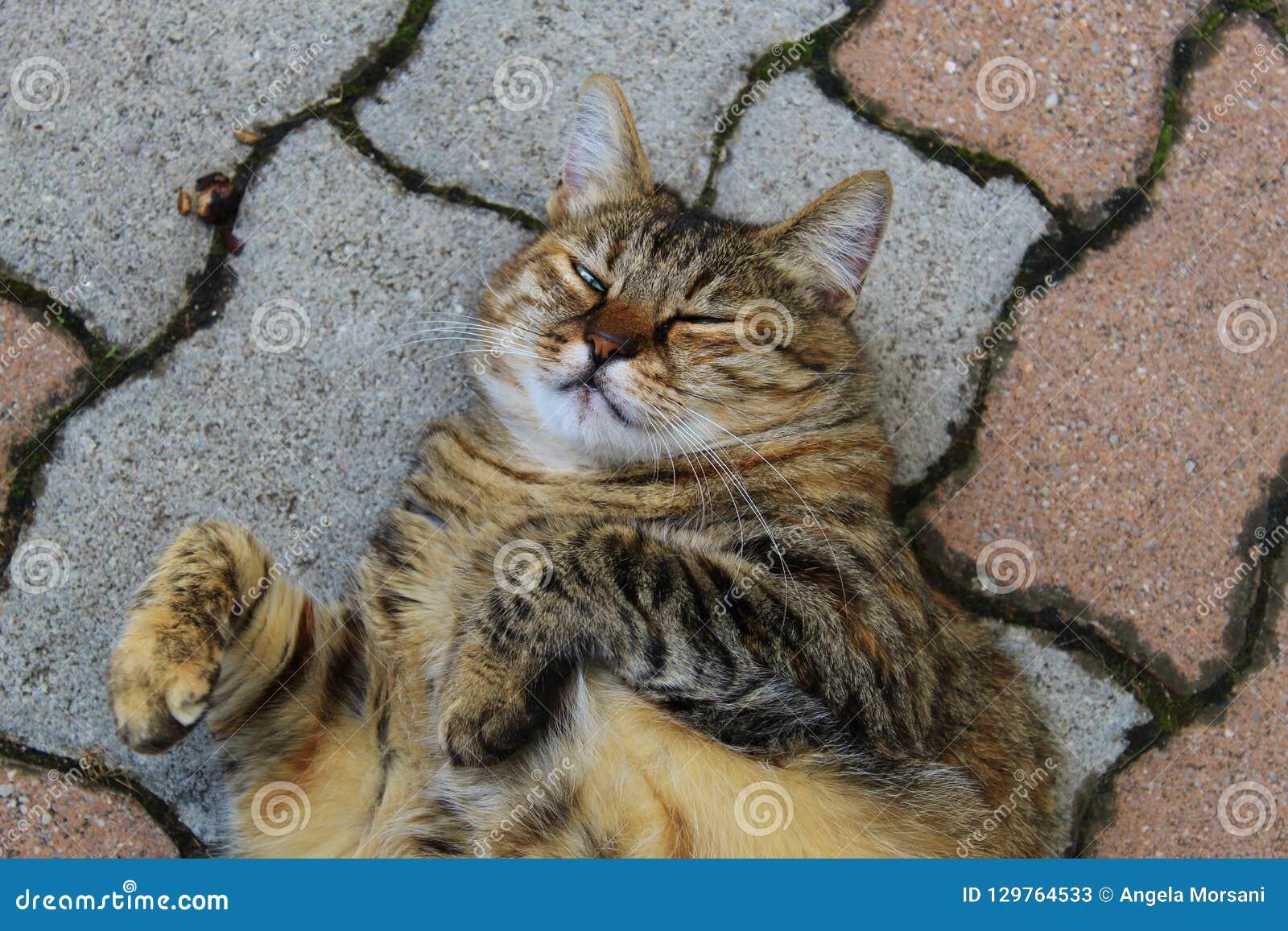 Gato gordo de Brown que pone en los ladrillos blancos y rojos