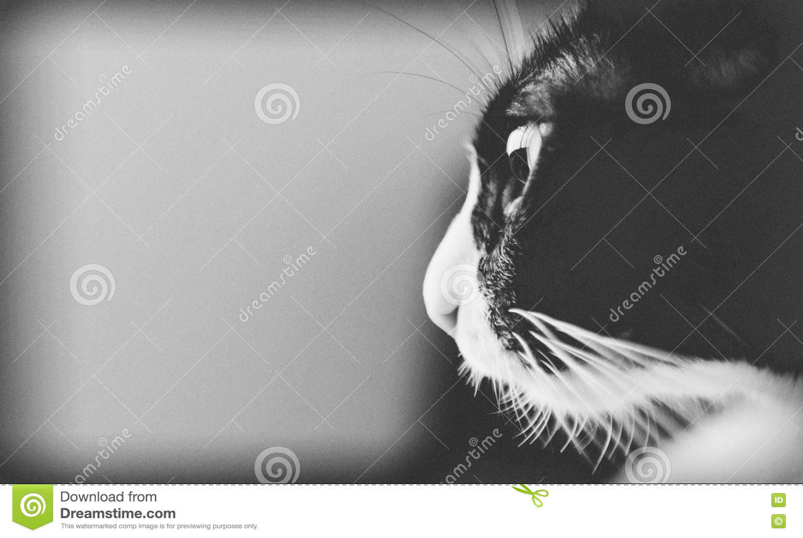 Gato gordo preto e branco bonito Com espaço da cópia