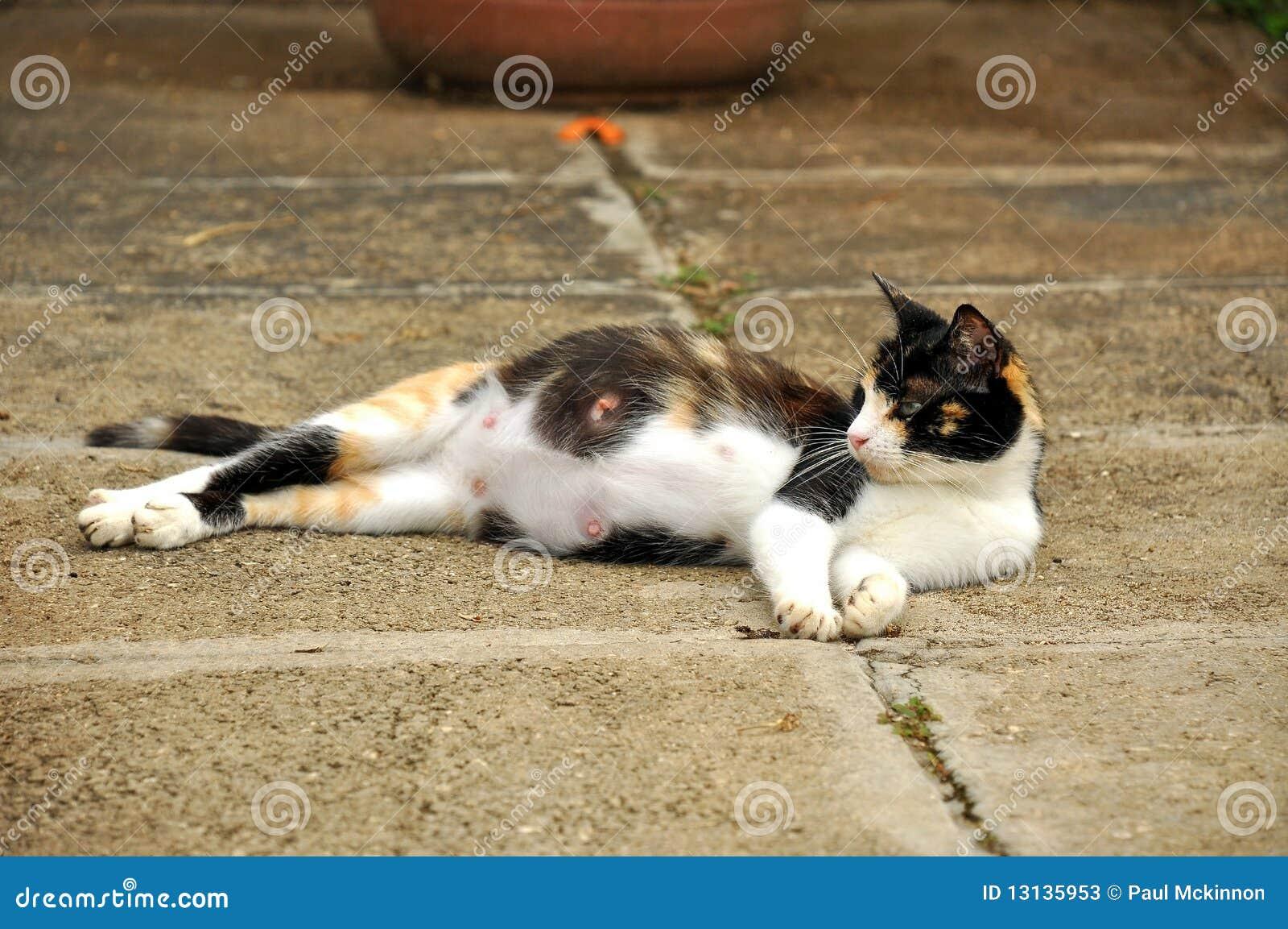 Gato grávido