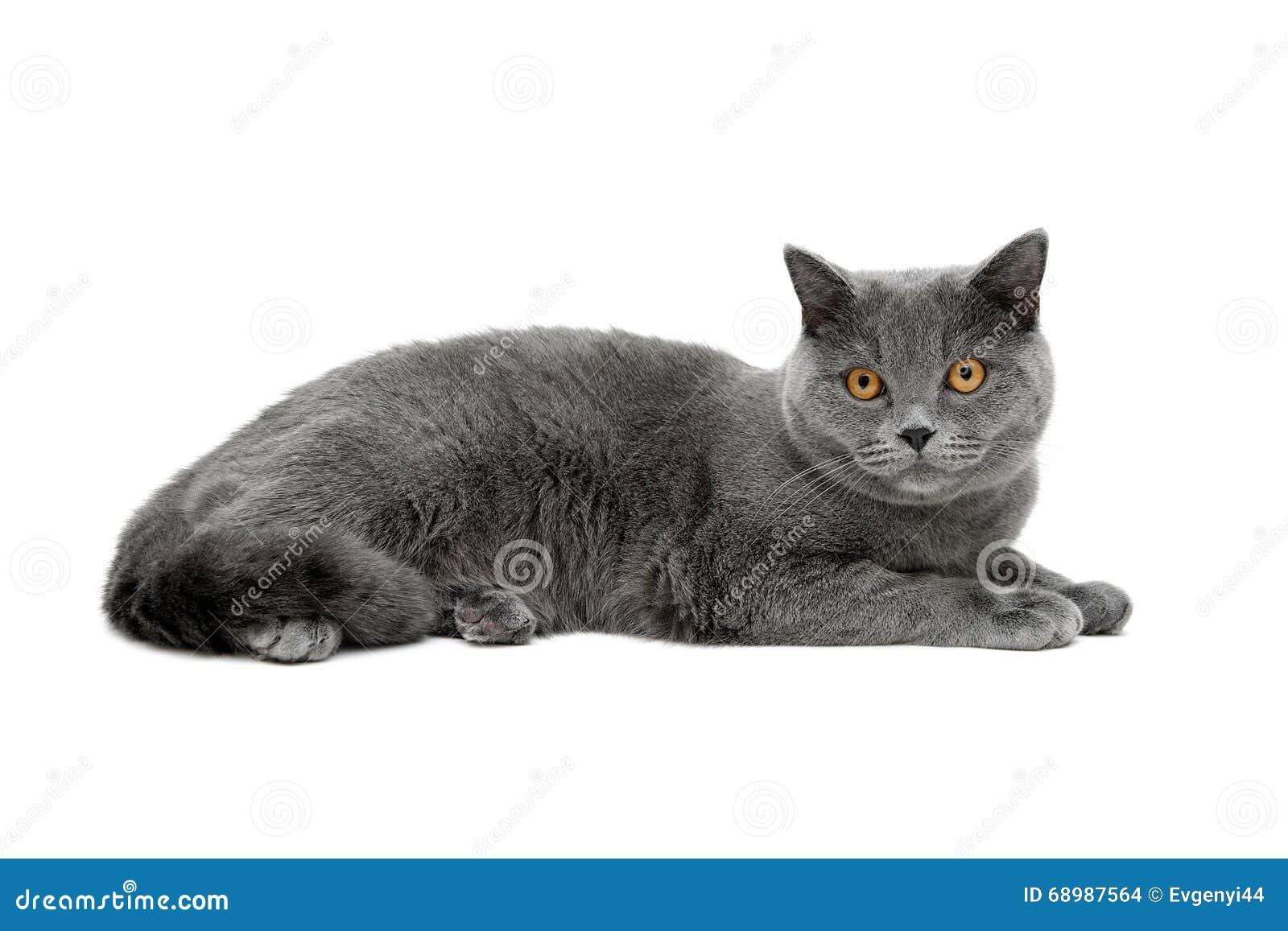 Gato gris con los ojos del amarillo aislados en el fondo blanco