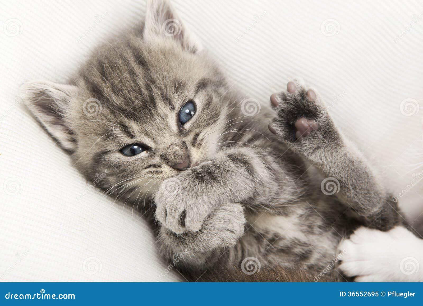 Gato gris del bebé del gato atigrado