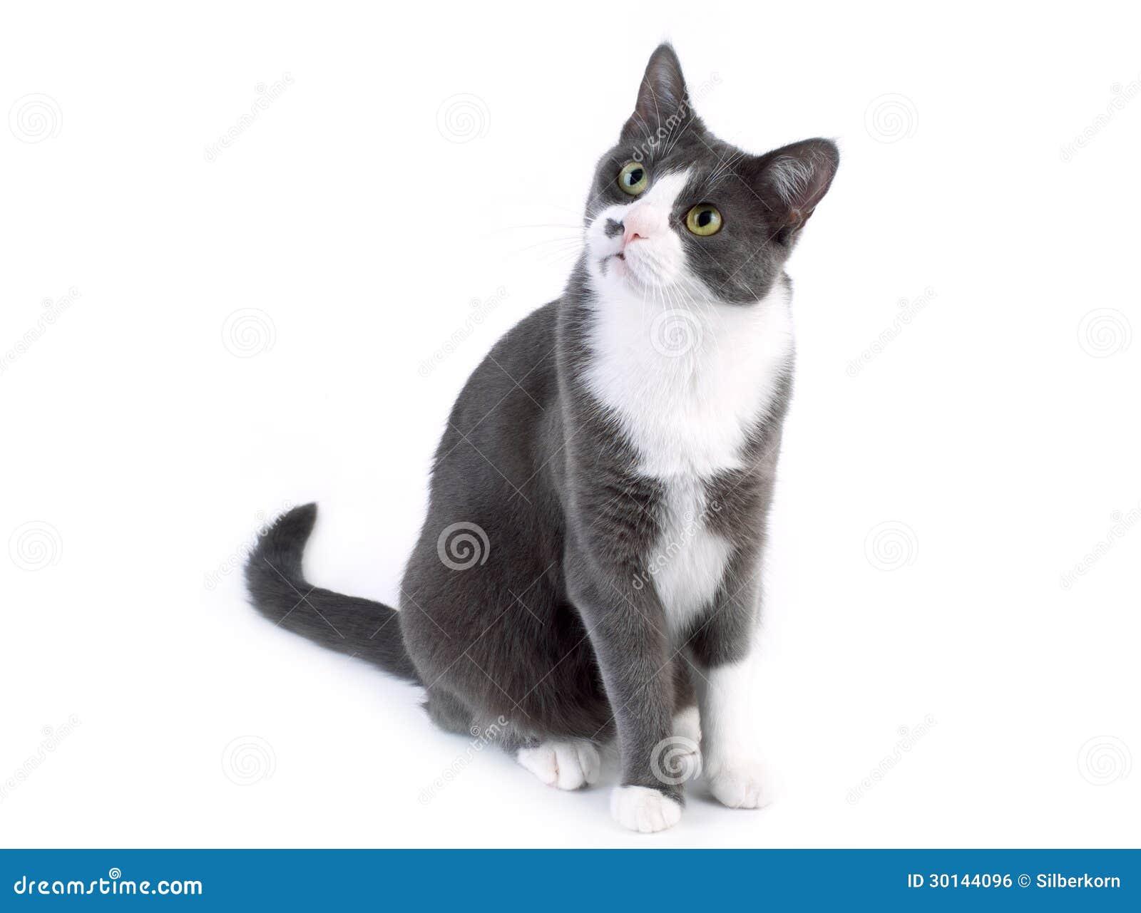 Gato gris que mira en el fondo blanco