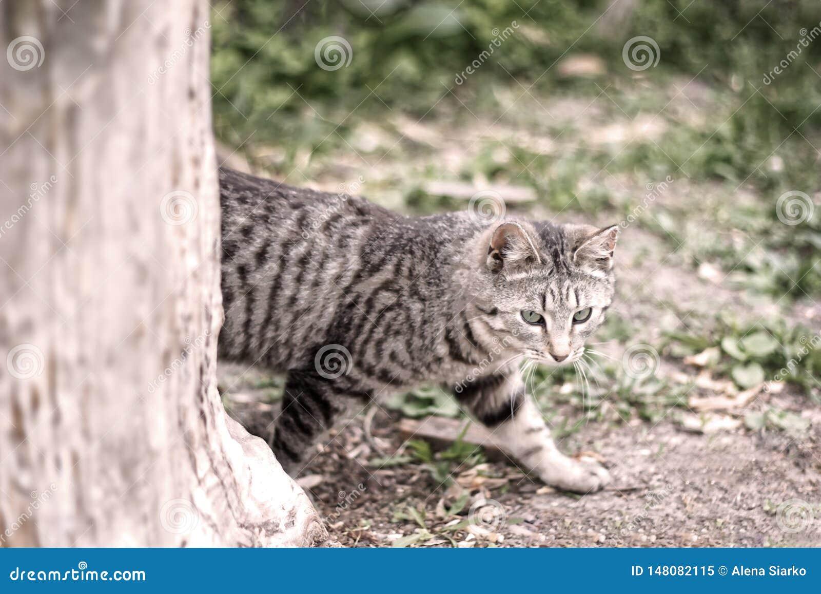 Gato gris rayado que se escabulle detrás de árbol en naturaleza en bosque verde