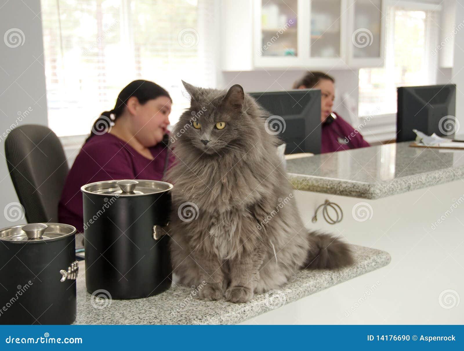 Gato hermoso en la recepción de un veterinario